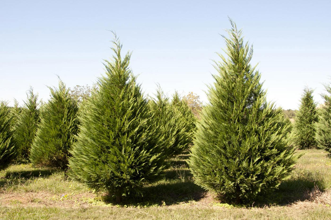 Choosing and cutting live Christmas trees, like the ones at Lazy Acres Plantation in Chunky, can provide families with holiday memories. (Photo by Kat Lawrence)