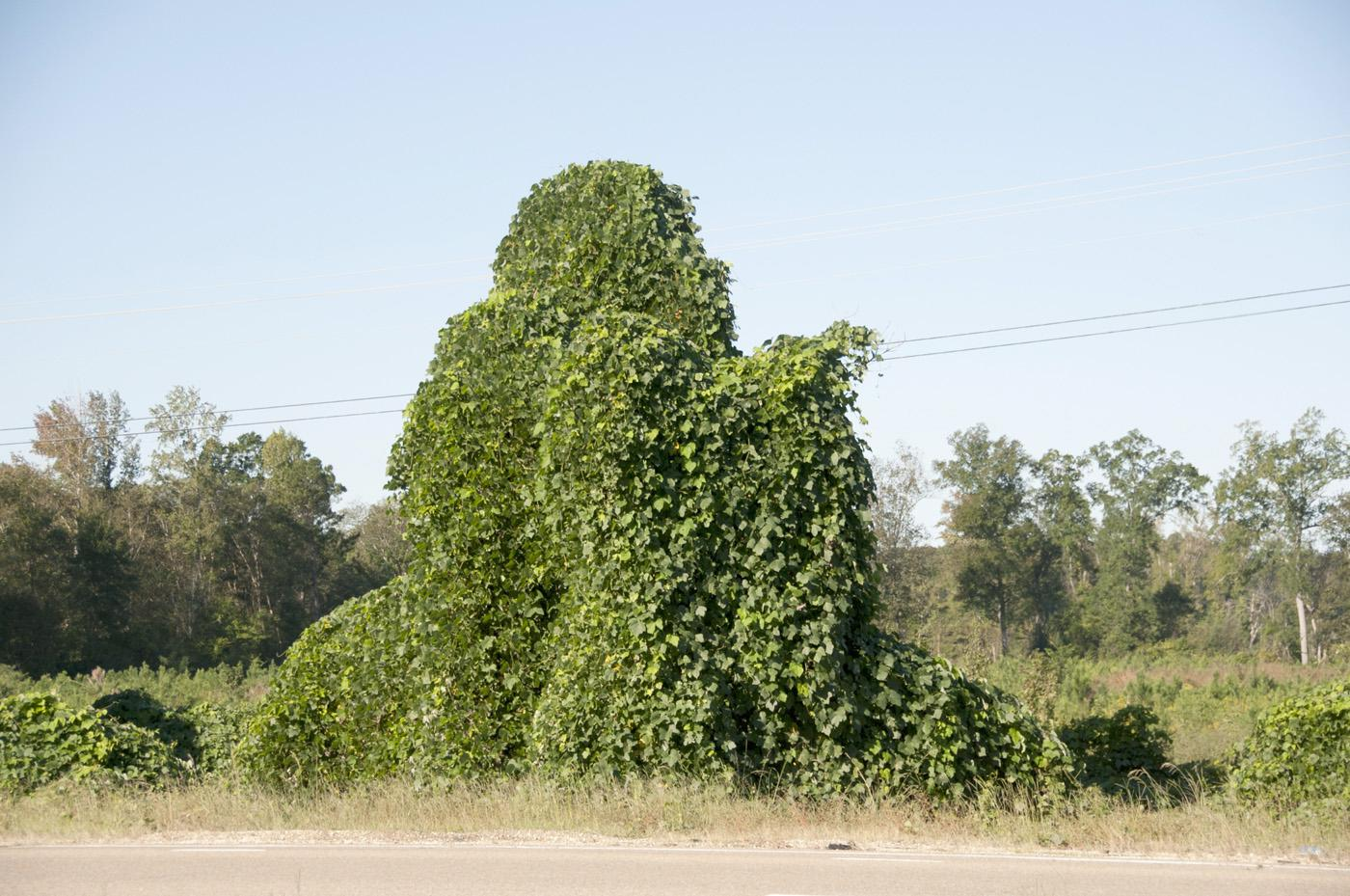 Kudzu covers large tracts of land from eastern Texas to the East Coast and as far north as Maryland. (Photo by Kat Lawrence)