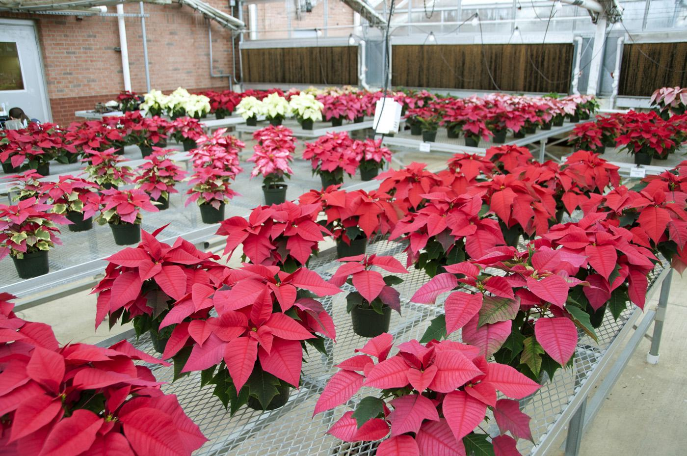 Mississippi State University researchers tested an organic method of treating poinsettia cuttings to fight a devastating fungus that causes stem and root rot. Mississippi producers grow an estimated 200,000 poinsettias per year, valued at $1 million. (Photo by Kat Lawrence)