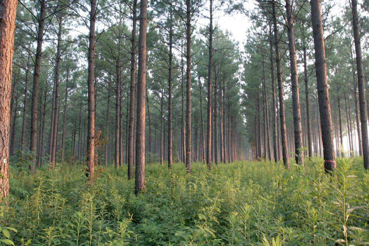 Forestry is Mississippi's second-largest agricultural commodity, with a preliminary year-end harvest value estimated at $1.04 billion. (Photo by Ray Iglay)