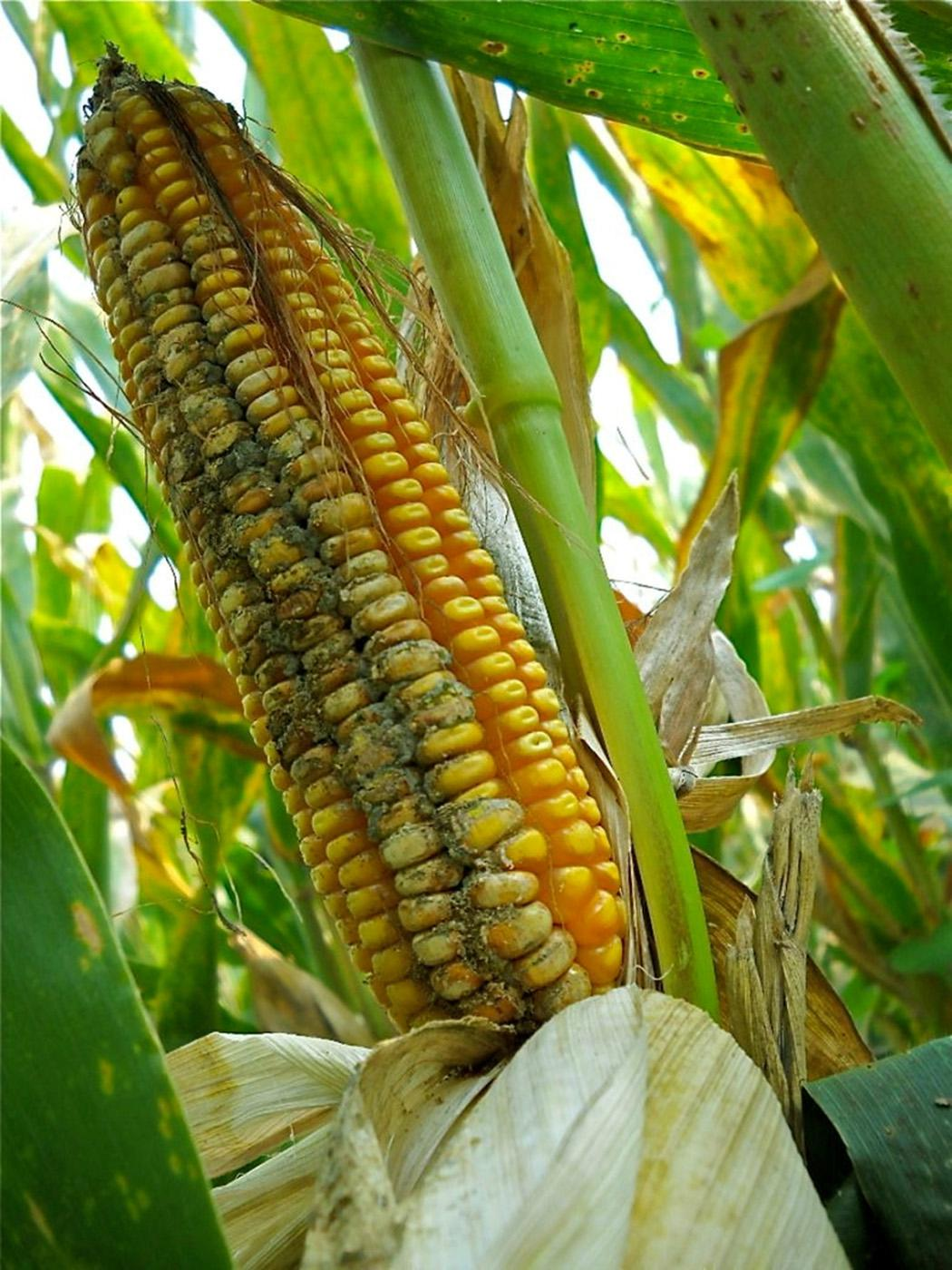 The fungus aflatoxin can destroy an entire corn crop. Mississippi State University plant pathologist Gabe Sciumbato and U.S. Department of Agriculture's Agricultural Research Service plant pathologists Hamed Abbas and Mark Weaver developed an in-field approach to reduce levels of this fungus in corn. (Photo by USDA-ARS/Mark Weaver)