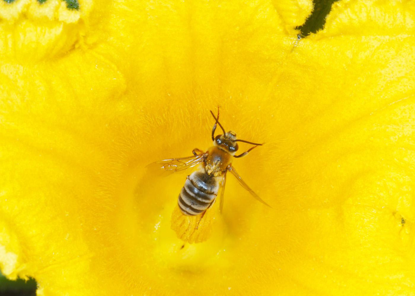 Squash bees are solitary, native insects that specialize in pollinating squashes, pumpkins and gourds. Unlike honey bees, squash bees are not social and nest in the ground. (Photo courtesy of Blake Layton)