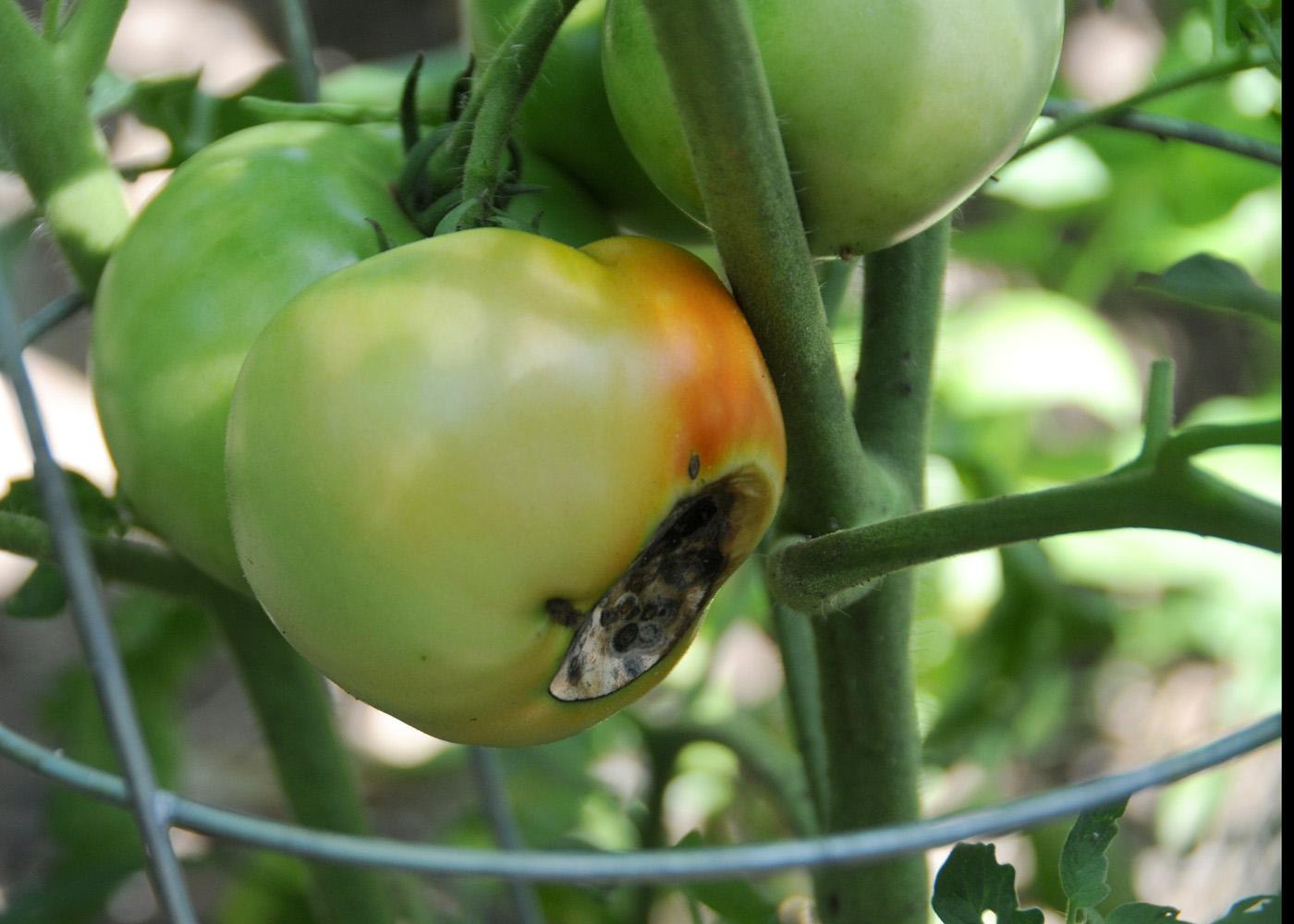 Blossom-end rot, seen on this tomato, is a common problem in home gardens. It is typically caused by uneven watering, which prevents enough calcium from reaching the fruit. (Photo by MSU Ag Communications/Scott Corey)