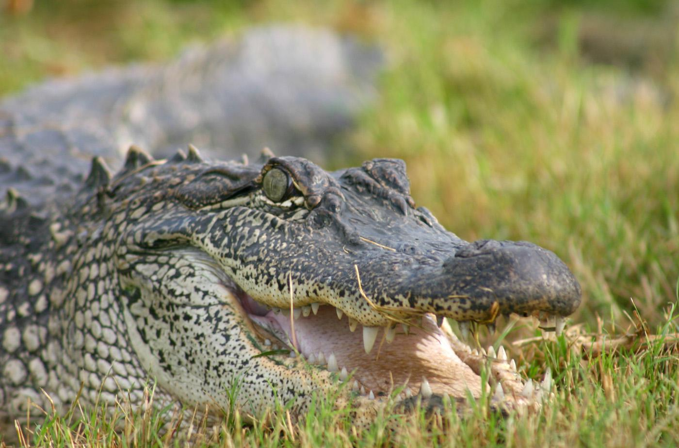 Mississippi State University biologist David Ray and colleagues from the United States and Australia will map the genetic code of the reptile order that includes alligators and crocodiles. (Submitted photo.)