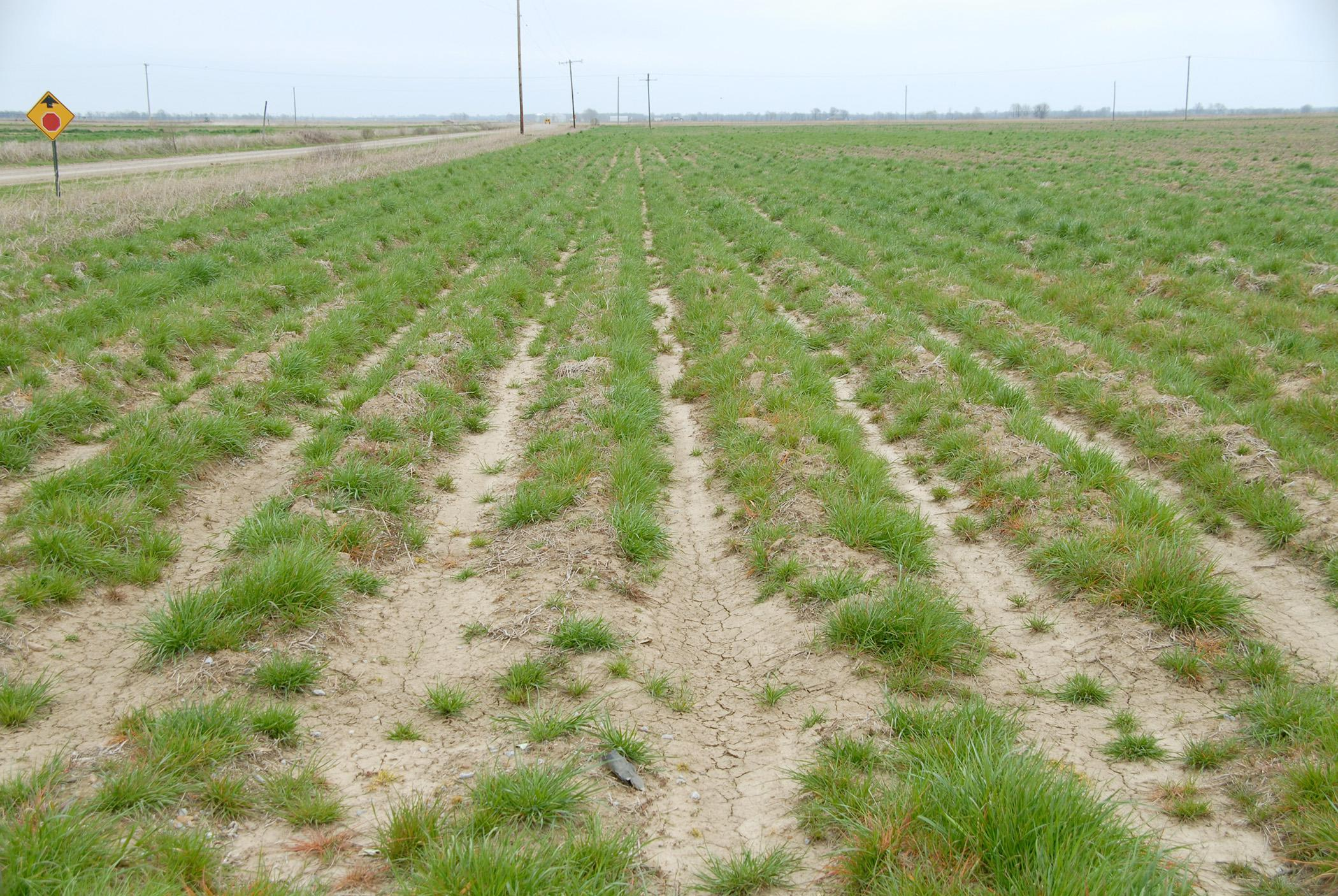 Populations of glyphosate-resistant Italian ryegrass, such as this weed photographed in Washington County in 2010, have been found in 31 Mississippi counties. (Photo by MAFES/Tom Eubank)