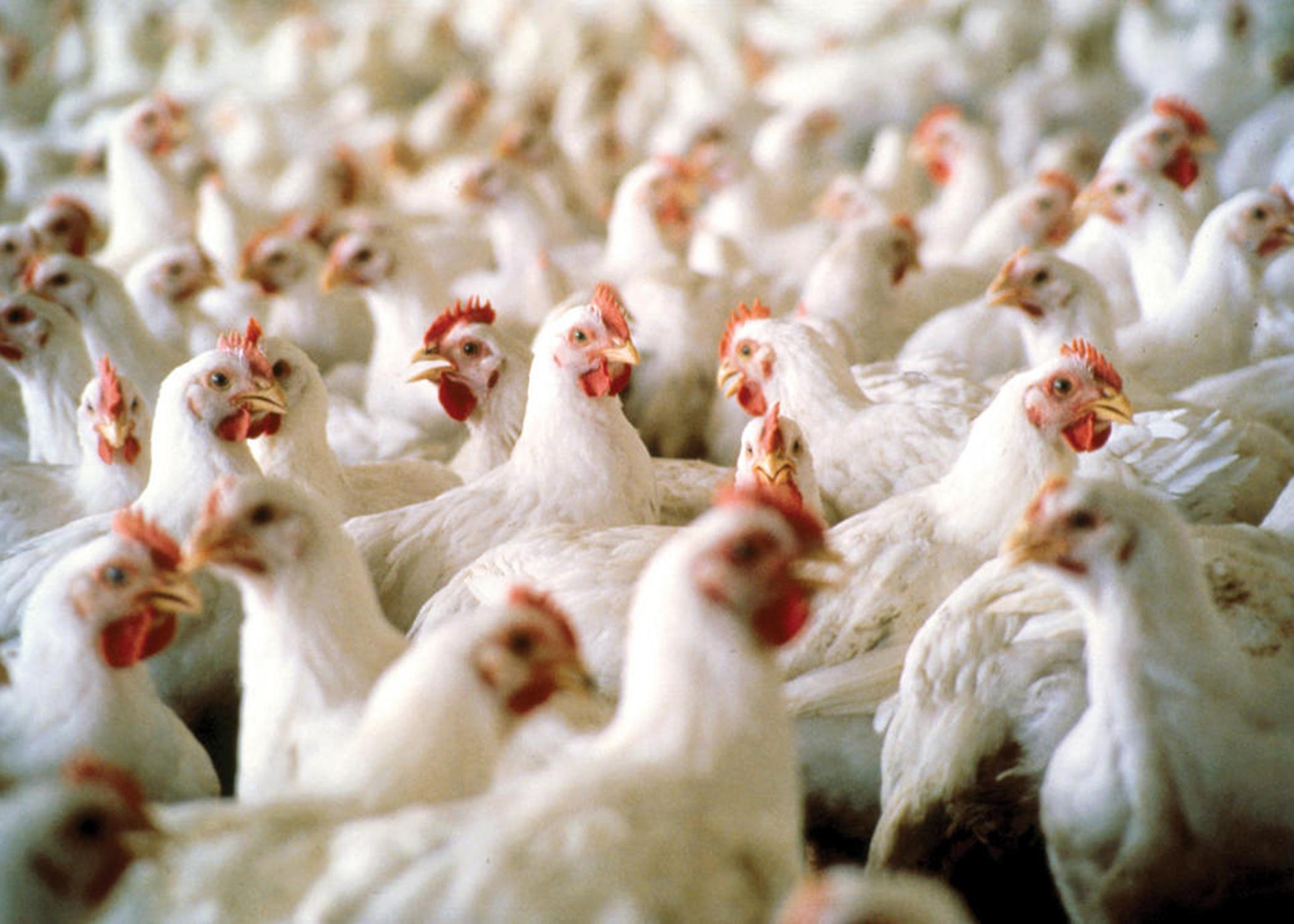 Mississippi's poultry industry ended the year with a preliminary estimated value of $2.5 billion, holding on to the top spot among agricultural commodities in the state for 2012. Broiler values saw a 7 percent increase from 2011, while estimated egg and chicken values remained level. (MSU Ag Communications/file photo