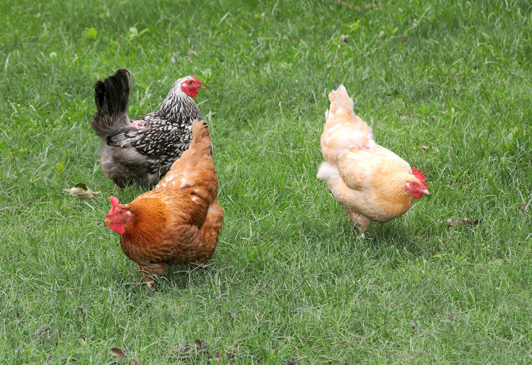 "Mississippi State University Extension experts have a new publication for people interested in raising chickens for eggs and meat: ""Managing the Backyard Flock,"" available at http://www.msucares.com. (Photo by MSU Ag Communications/Kat Lawrence)"