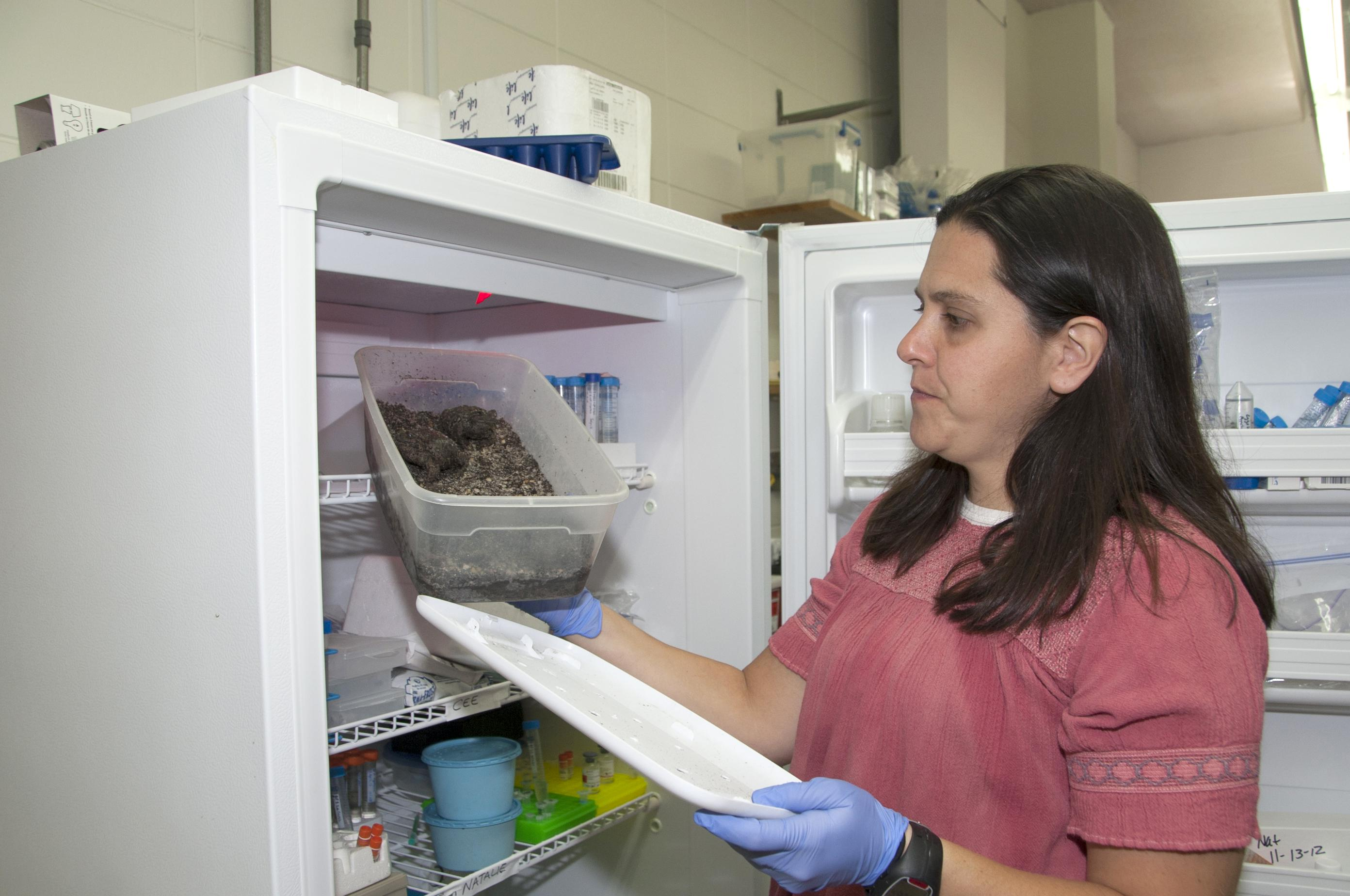 Mississippi State University researcher Natalie Calatayud checks on female Boreal toads hibernating in a laboratory refrigerator. Researchers found the toads will lay eggs in captivity after spending time in simulated conditions that mimic their native environment. (Photo by MSU Ag Communications/Kat Lawrence)
