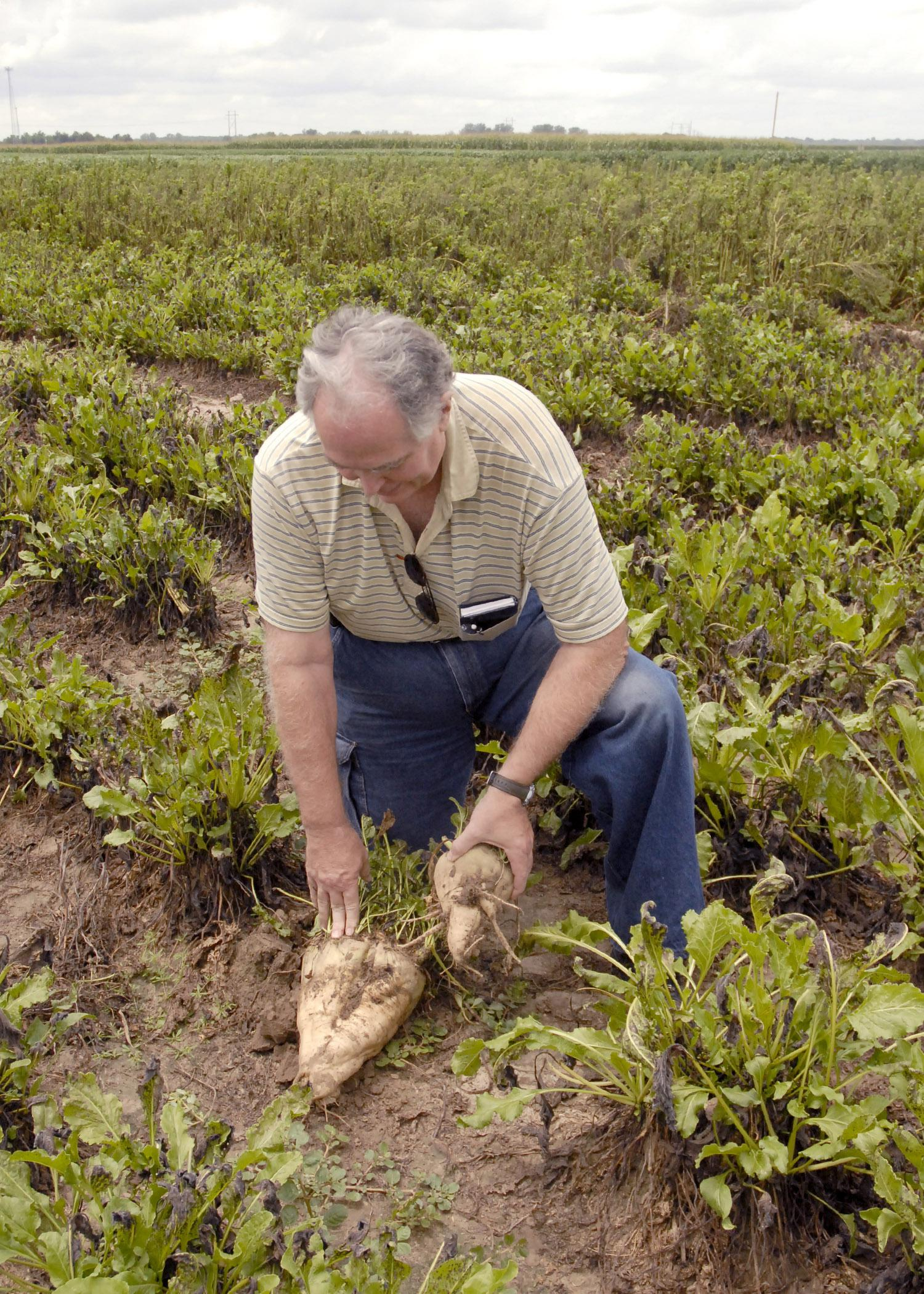 Wayne Ebelhar, a researcher with the Mississippi Agricultural and Forestry Experiment Station, compares on July 16, 2013, an energy beet planted at the Mississippi State University Delta Research and Extension Center last September with one planted in March to see the size differences. Researchers are establishing the growth and profit potential for this bioenergy source most commonly grown across the Northern Plains. (Photo by MSU Ag Communications/Linda Breazeale)