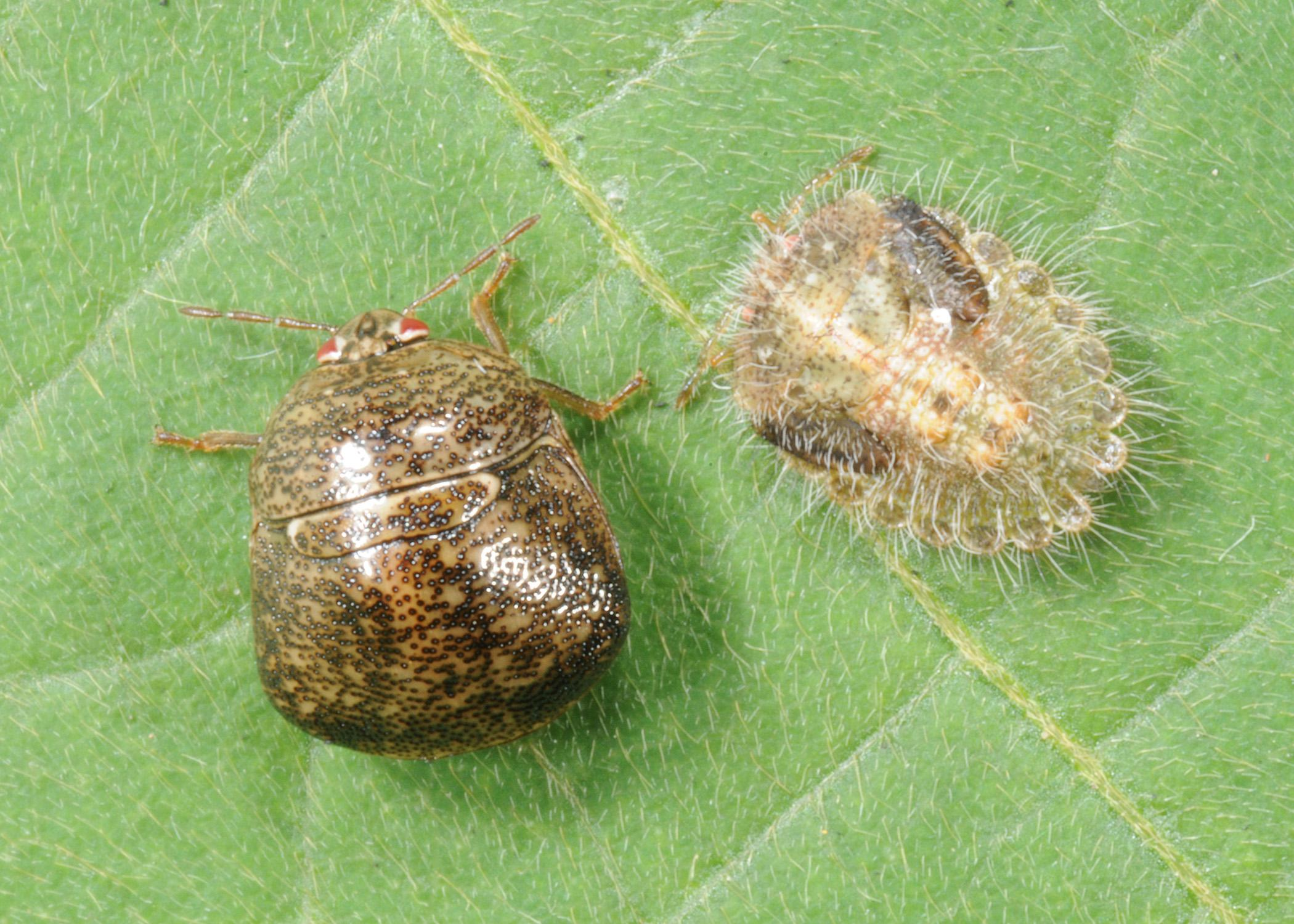 An adult kudzu bug, left, and an immature kudzu bug rest on a kudzu leaf. These insects entered the state in 2012 and now are a pest in soybeans. (Photo by MSU Extension Service/Blake Layton)
