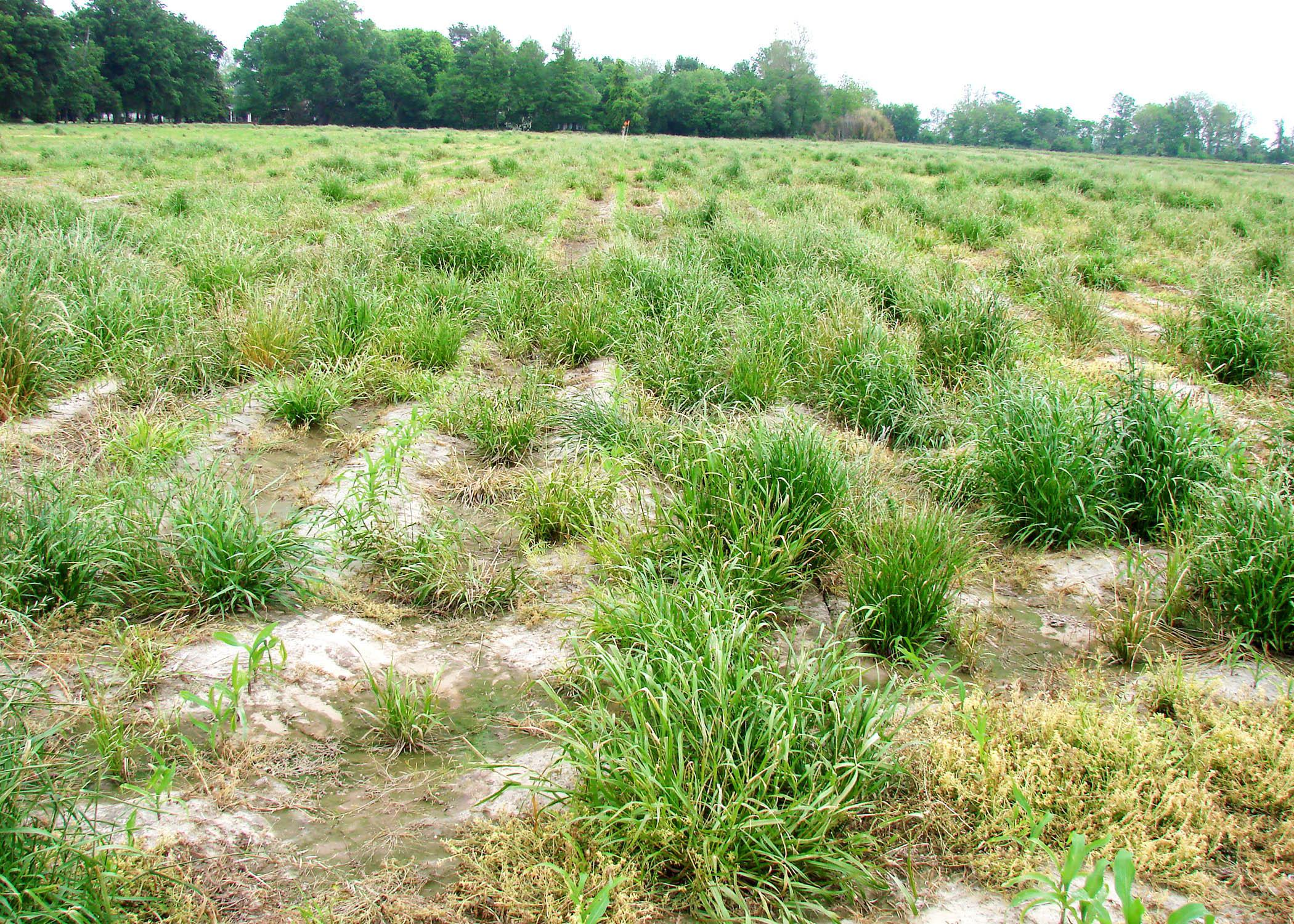Mississippi State University weed scientists are leading the fight against glyphosate-resistant Italian ryegrass, such as this growing in a production corn field in Washington County in early spring 2013. (Photo by MSU Delta Research and Extension Center/Jason Bond)