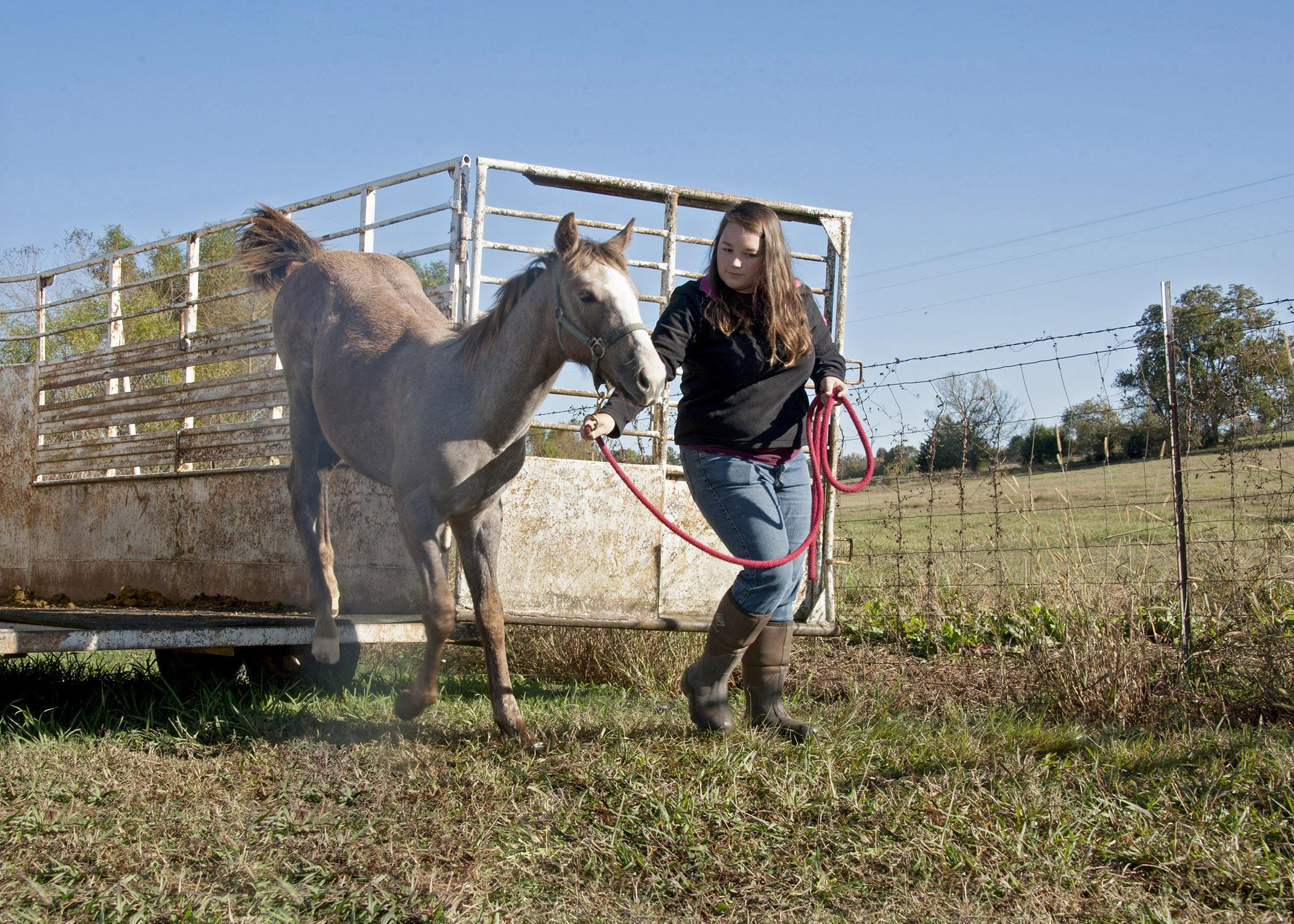 Callie Cornelison of Scottsboro, Ala., a senior studying animal and dairy sciences at Mississippi State University, practices loading and unloading from a trailer with Leroy, a horse up for bid in an online auction running Nov. 1-21. (Photo by MSU Ag Communications/Kat Lawrence)