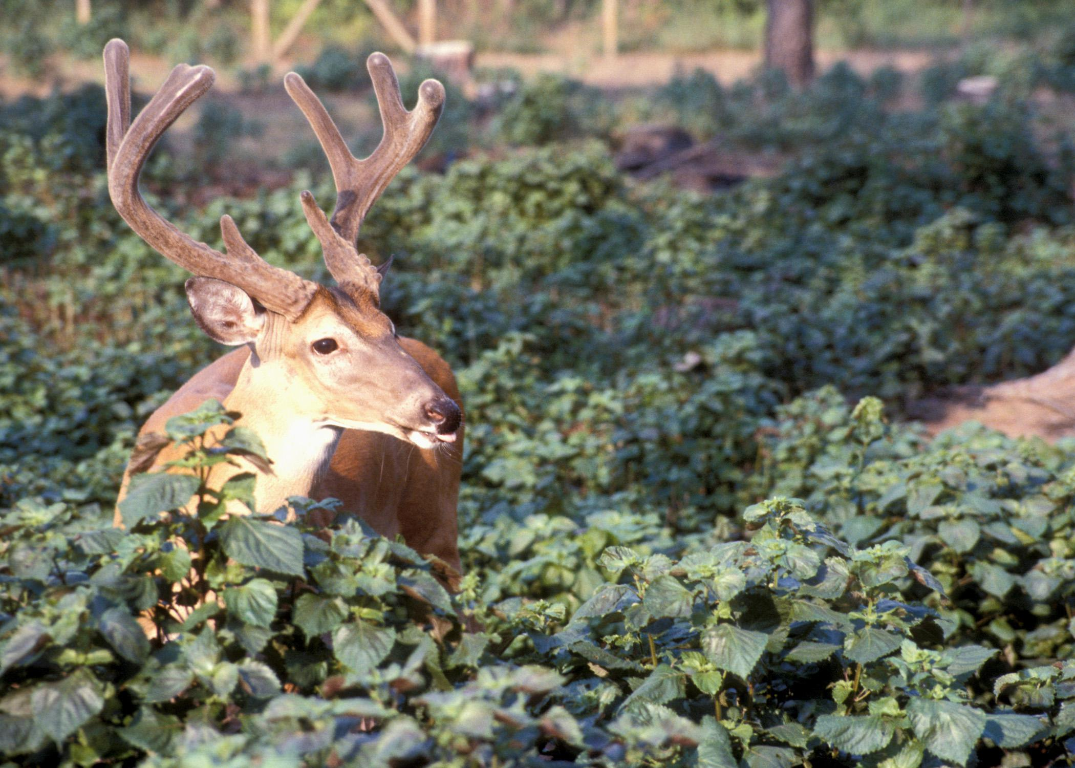 Mississippi forestland can produce trophy bucks when land managers control deer density, create a good buck age structure, manage deer habitat and then selectively harvests bucks. (File photo by MSU Ag Communications)