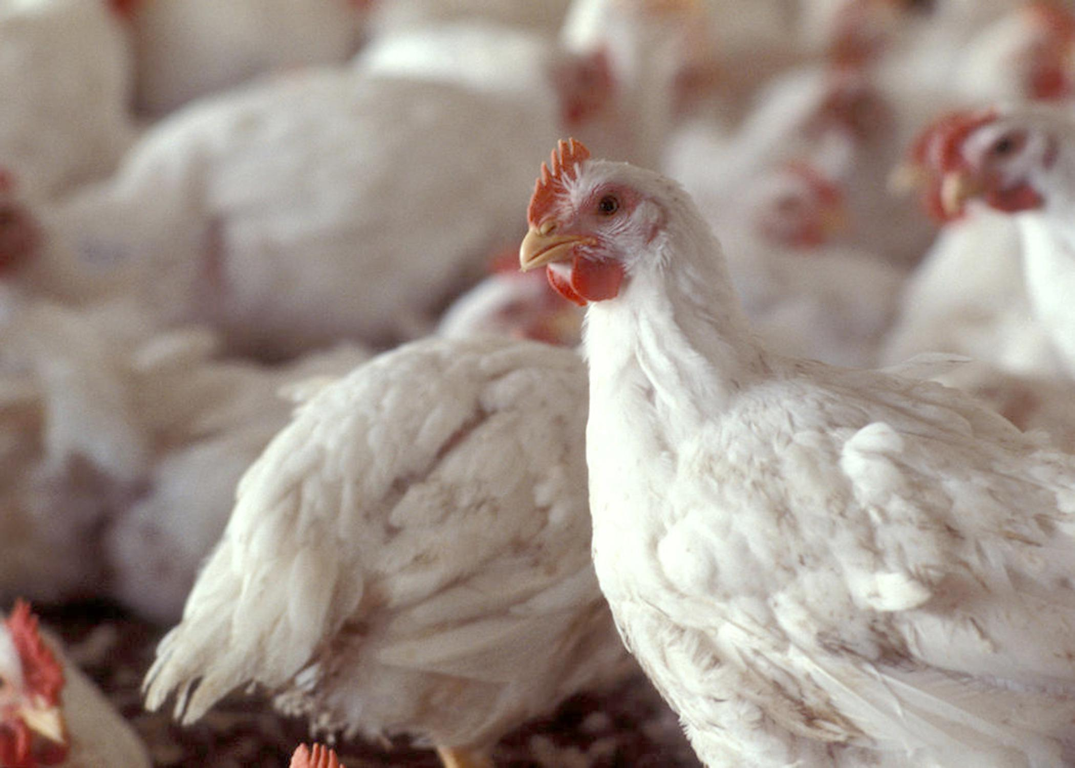 Poultry remains Mississippi's No. 1 agricultural commodity, with a preliminary estimated value of $2.7 billion. Broilers brought higher prices in 2013, bumping the industry's overall value by about 10 percent compared to 2012. (Photo by MSU Ag Communications)