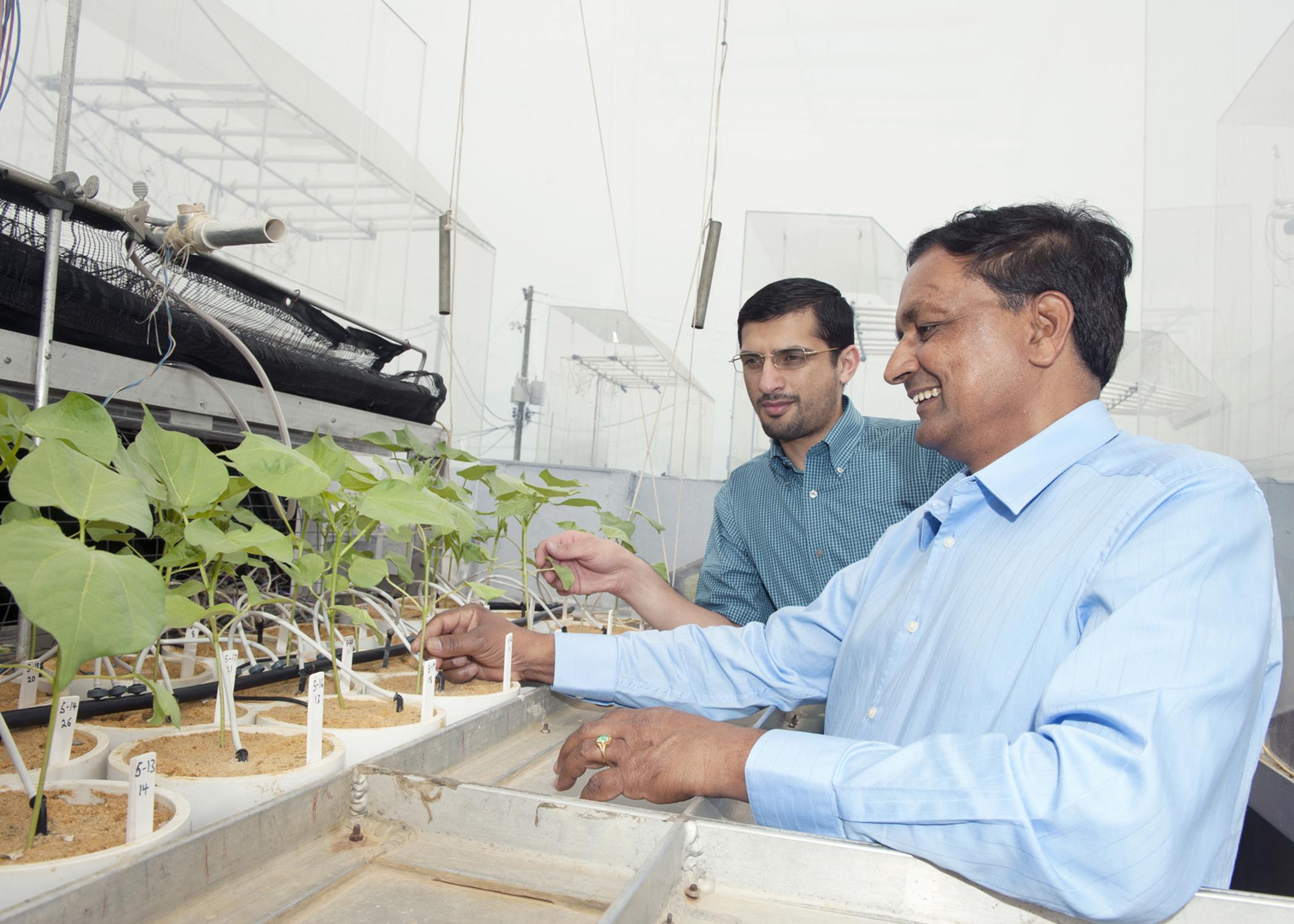 Mississippi State University professor K. Raja Reddy, foreground, shows Omar Ali, a doctoral student from Iraq, cotton plants growing in the Soil-Plant-Atmosphere-Research unit at the R.R. Foil Plant Research Center on May 8, 2014. (Photo by MSU Office of Public Affairs/Beth Wynn)