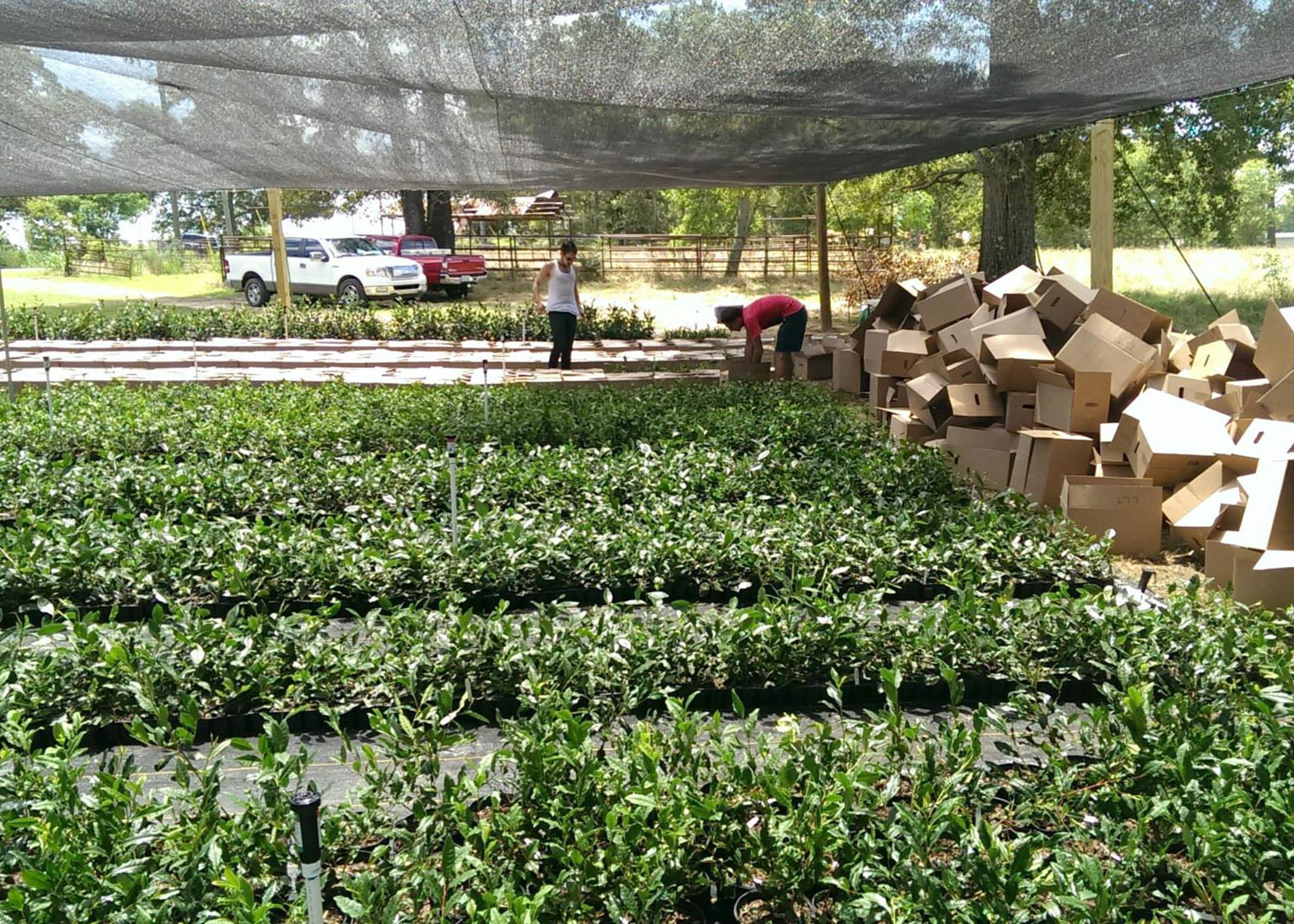 Timothy Gipson, right, and a volunteer unbox some of the 30,000 tea plants delivered to the The Great Mississippi Tea Company on June 17, 2014, in Brookhaven, Mississippi. The 260 seedlings planted in October thrived through the wet, cold winter and spring. (Photo by Jason McDonald)