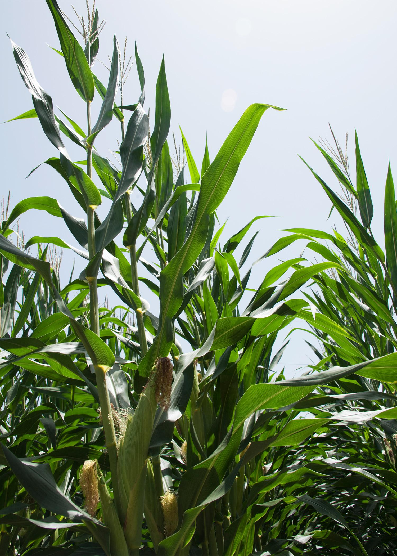 Corn acreage is down in Mississippi this year, but the other major row crops saw increases. This field was photographed July 1, 2014, at Mississippi State University's R.R. Foil Plant Science Research Center in Starkville, Mississippi. (Photo by MSU Ag Communications/Kat Lawrence)