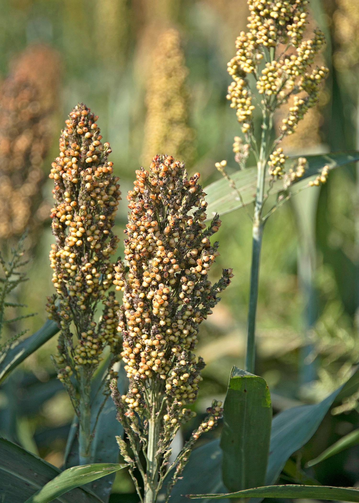 Seed treatment and increased crop monitoring will be critical in preventing sugarcane aphids from causing major damage to future grain sorghum crops in Mississippi. (File photo by MSU Ag Communications/Kat Lawrence)