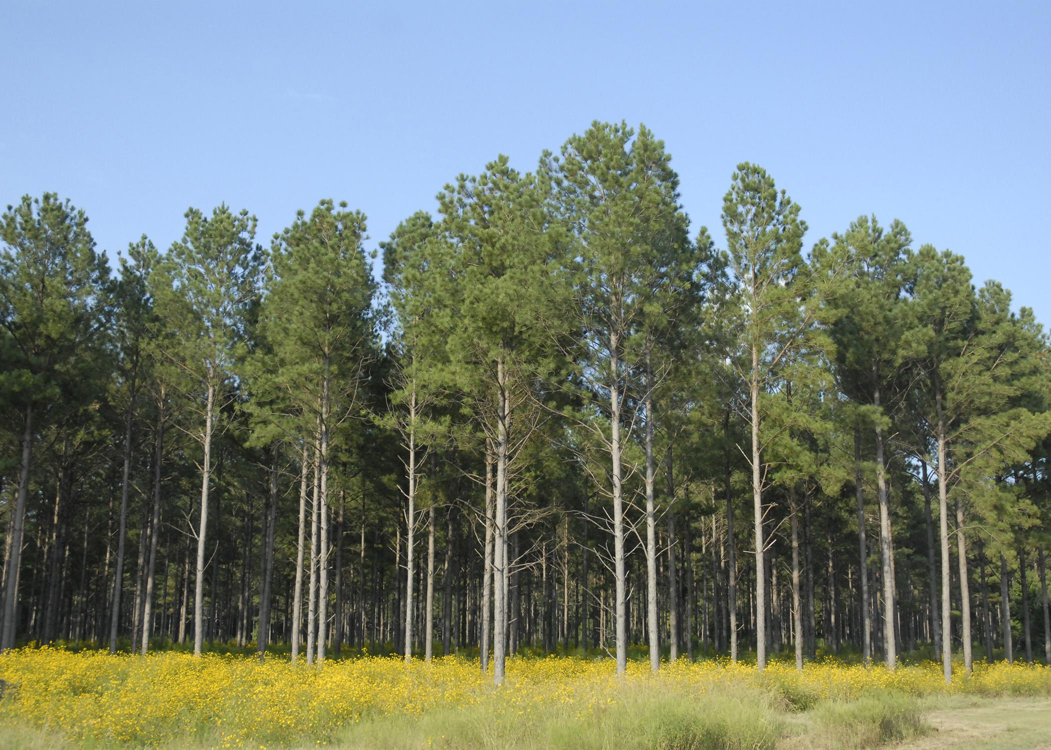 Forestry was Mississippi's second-largest agricultural commodity for 2014, with a preliminary year-end harvest value estimated at $1.28 billion, a 13.8 percent increase from 2013. (File photo by MSU Ag Communications/Linda Breazeale)