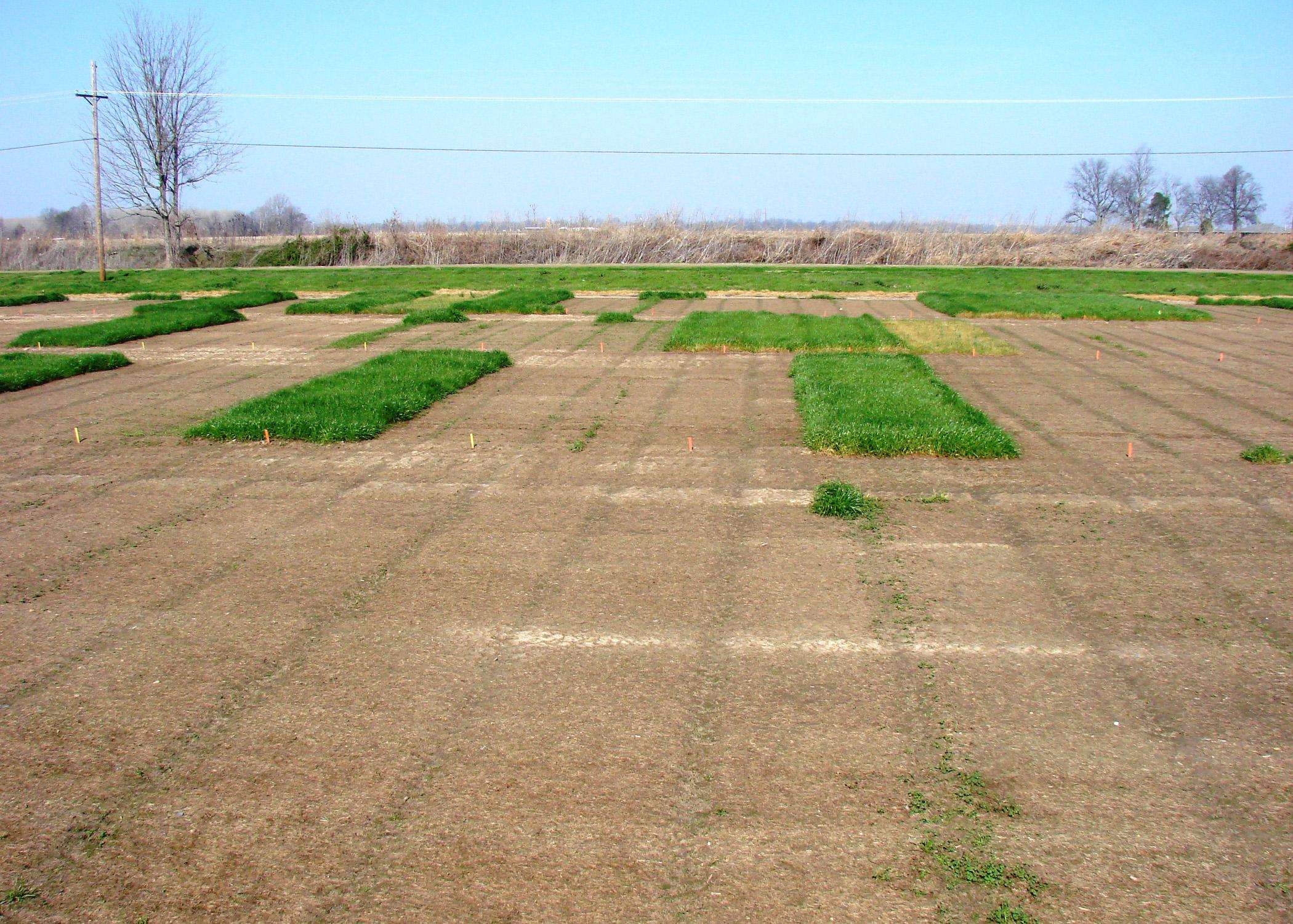 The Mississippi Agricultural and Forestry Experiment Station hosts small-plot research on the Mississippi State University campus so researchers can evaluate residual control of glyphosate-resistant Italian ryegrass to determine the best practices for combating the weed. (Photo submitted)