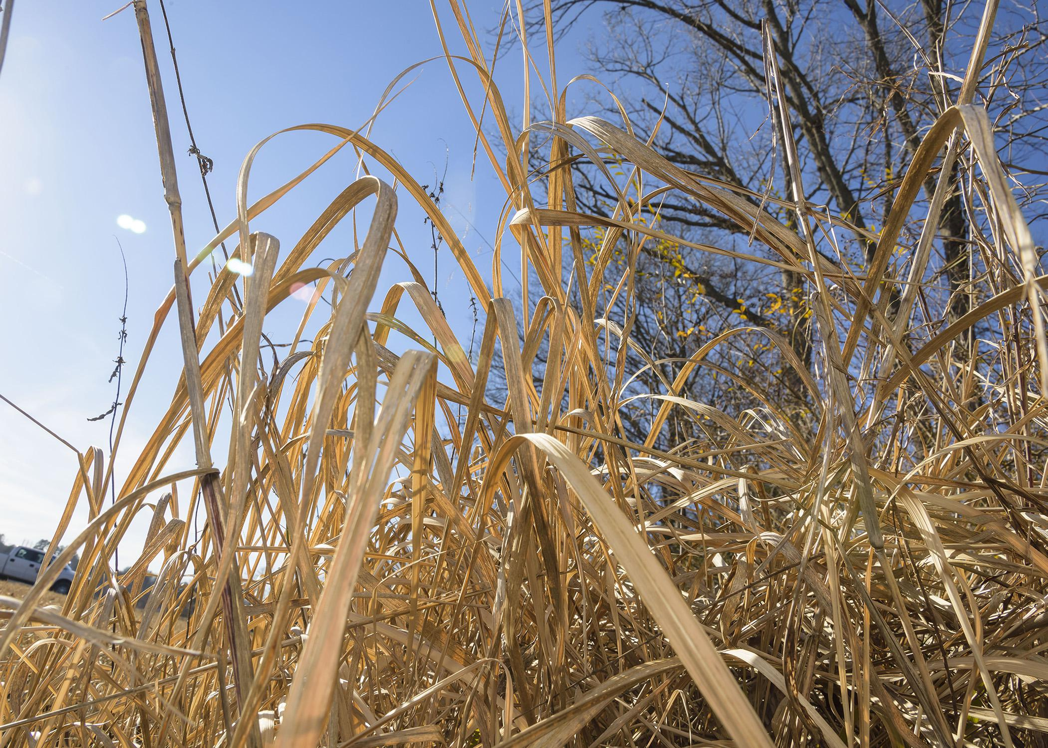 Winter is one of the easiest times of the year to identify cogongrass, which many researchers have classified among the worst weeds in the world. Herbicide treatments applied in the early spring are instrumental in eliminating the noxious weed. (Photo by MSU Ag Communications/Kevin Hudson)