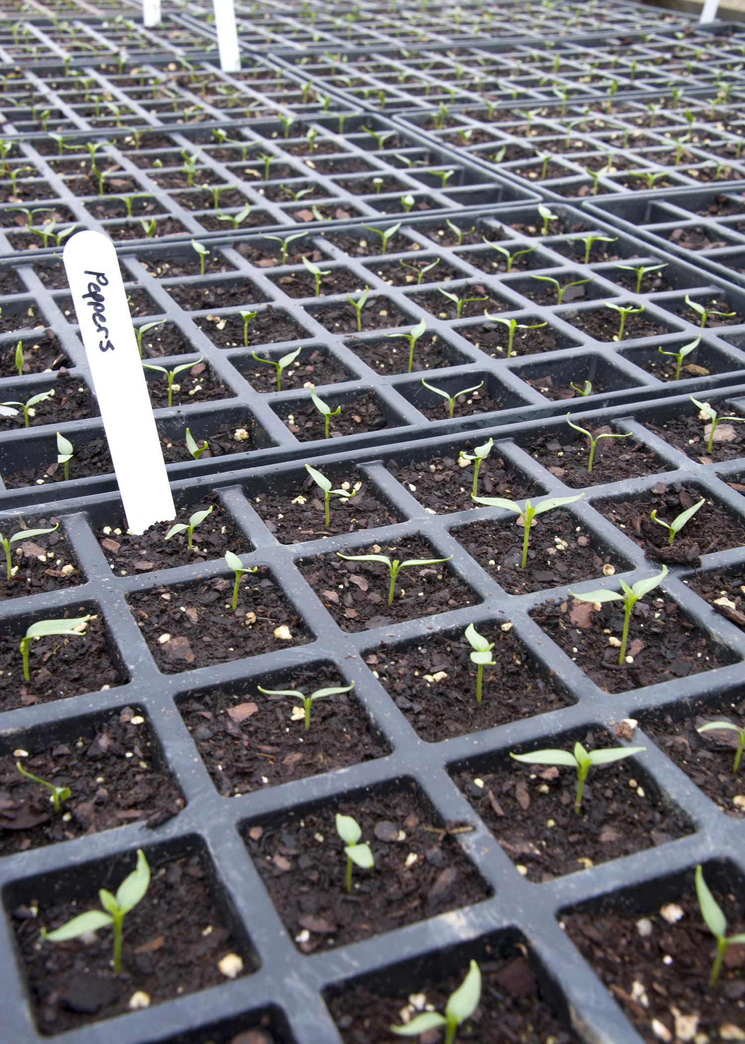 Start seedlings by late February to have transplants ready for planting in the ground on Good Friday. (Photo by MSU Ag Communications/Kat Lawrence)
