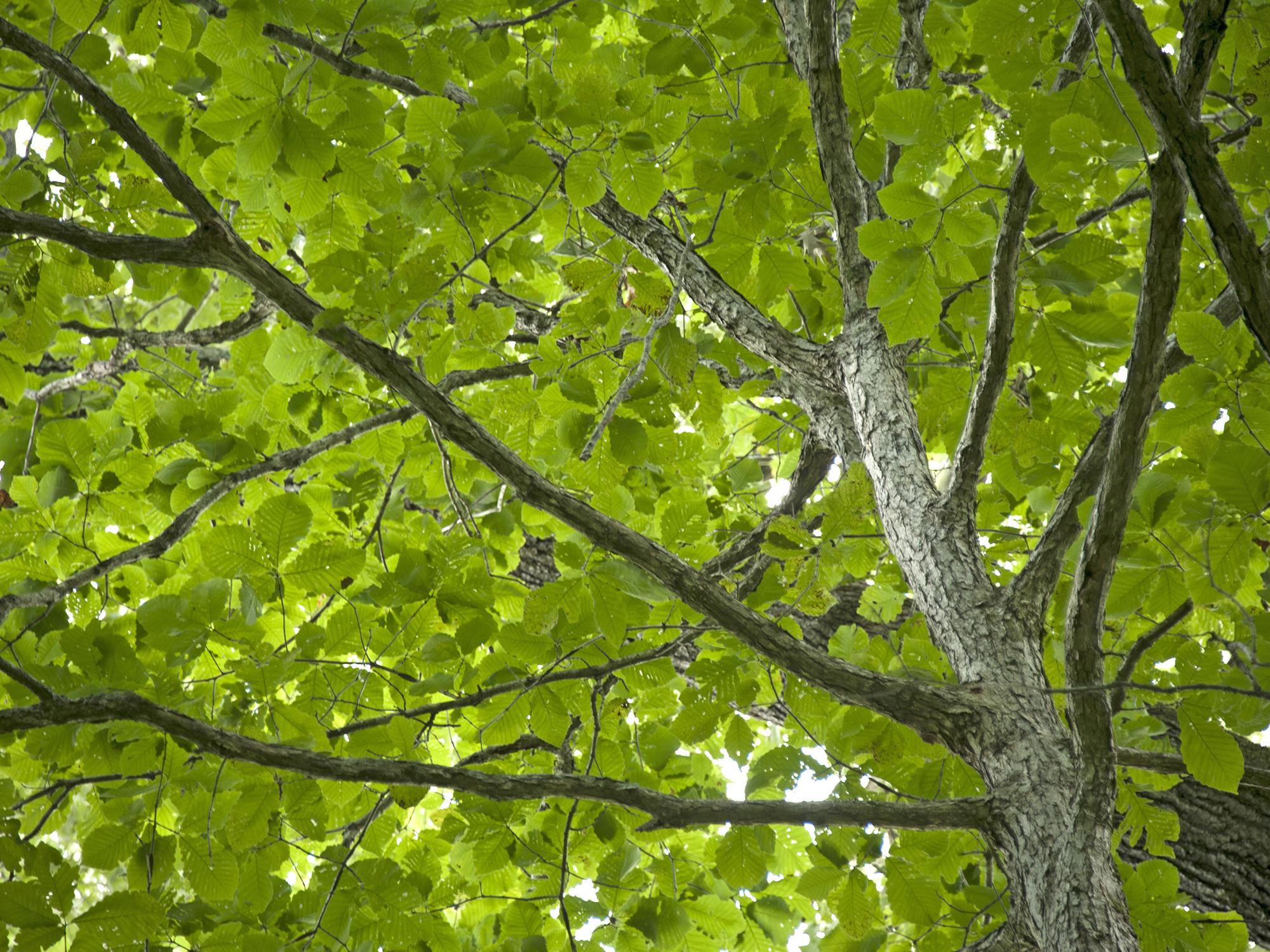 The green leaves of an oak tree create a canopy overhead while the thick, rough brown bark covering the leaves and branches dominates the right side of the photograph.