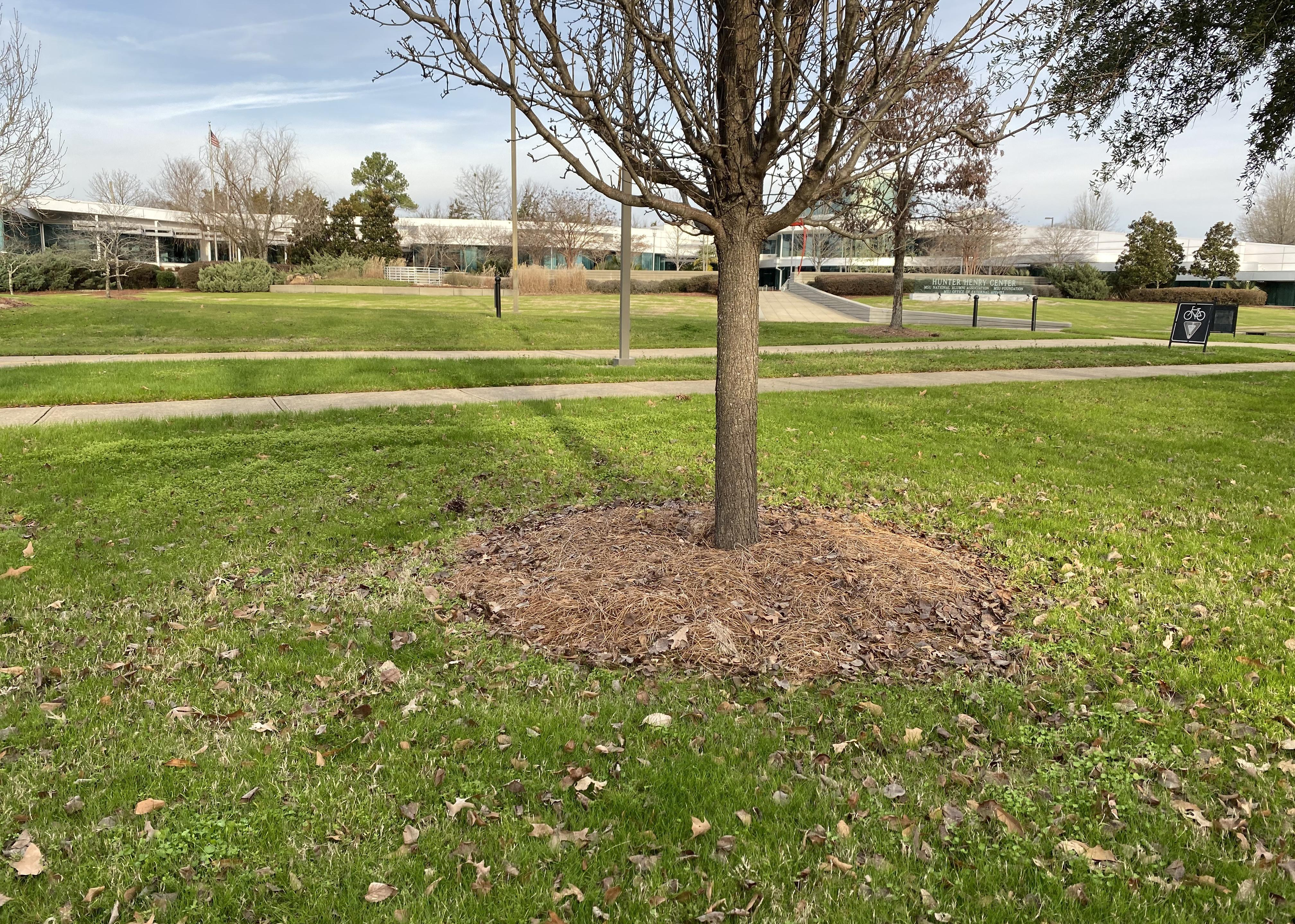 A tree planted in green grass with brown mulch around it.