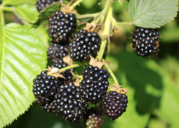 A cluster of blackberries on a bush.