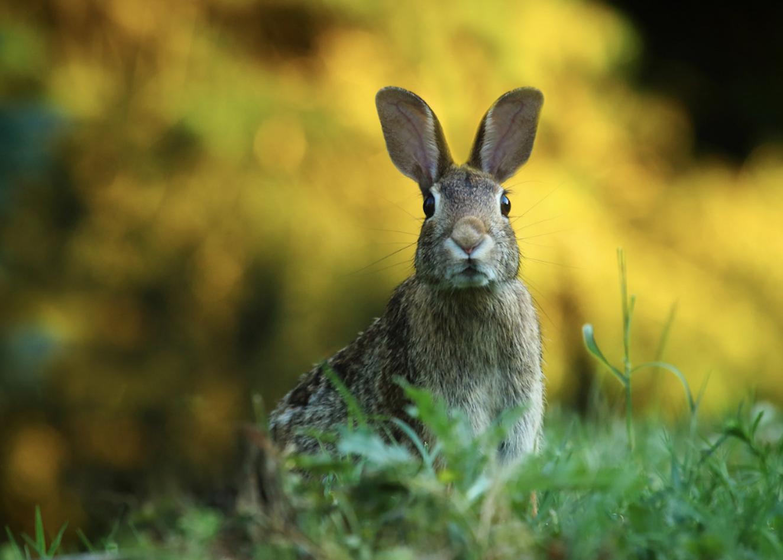 A rabbit in a field.