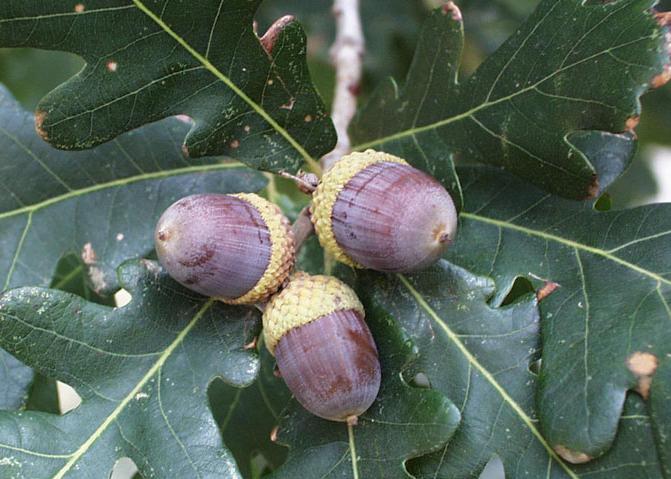 white oak acorns.