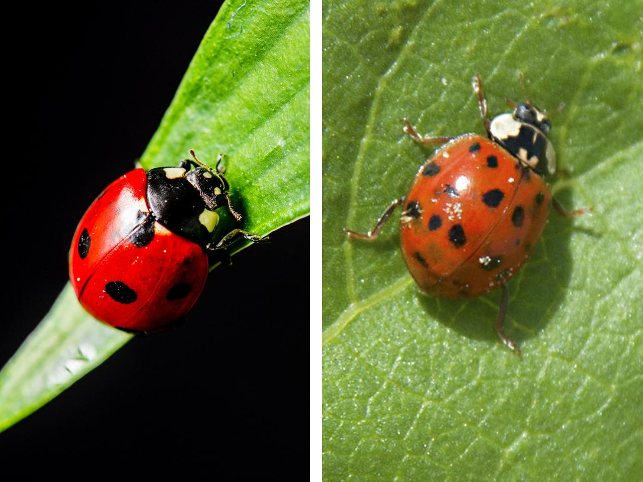 Close-up photos showing a side-by-side comparison of a red ladybug with black spots on a green leaf and an orange Asian lady beetle on a green leaf. (Photos by Canstock and MSU Extension Service)