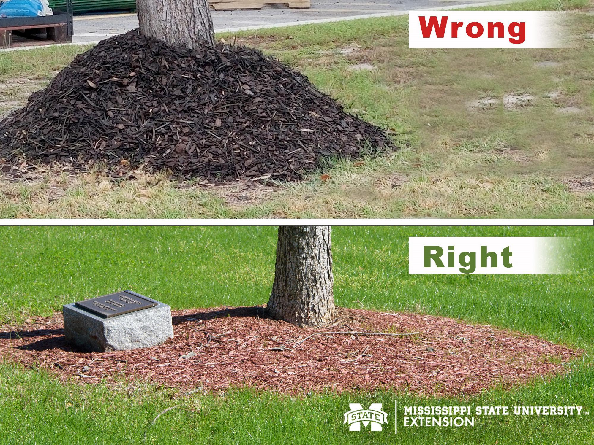 Side by side photos showing the right and wrong ways to mulch around a tree trunk. (Photos by Kevin Hudson and Gary Bachman)