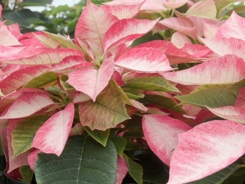 A closeup of grouped poinsettias with variegated red, white, and green leaves.