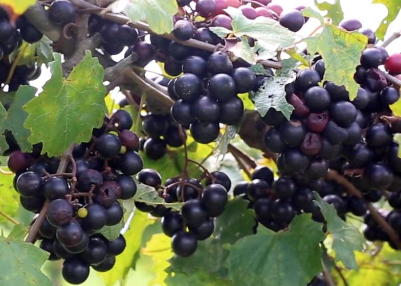 Ripe muscadines on the vine.