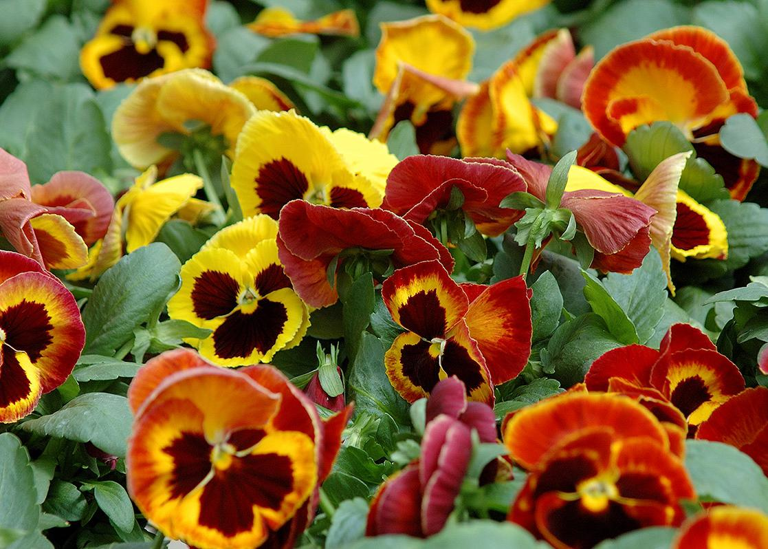 A group of yellow and red pansies bunched together.