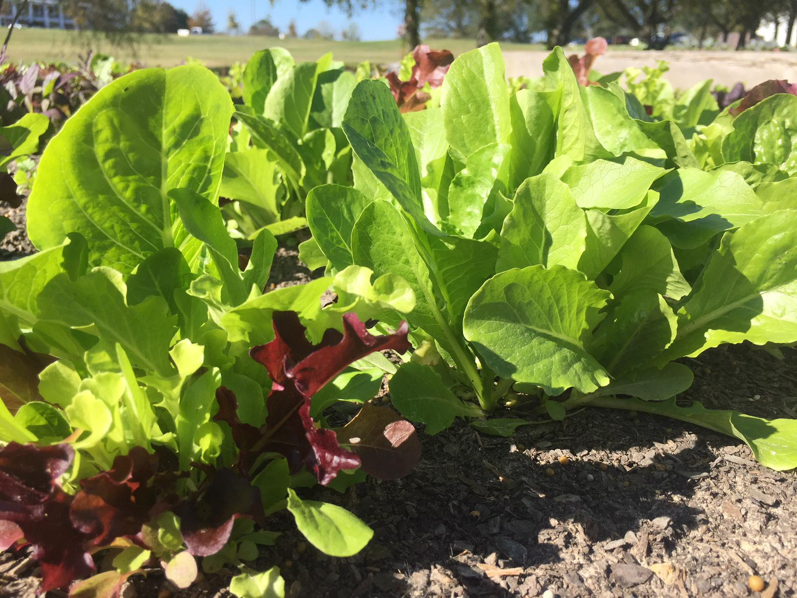Several varieties of lettuces grow in a raised bed.
