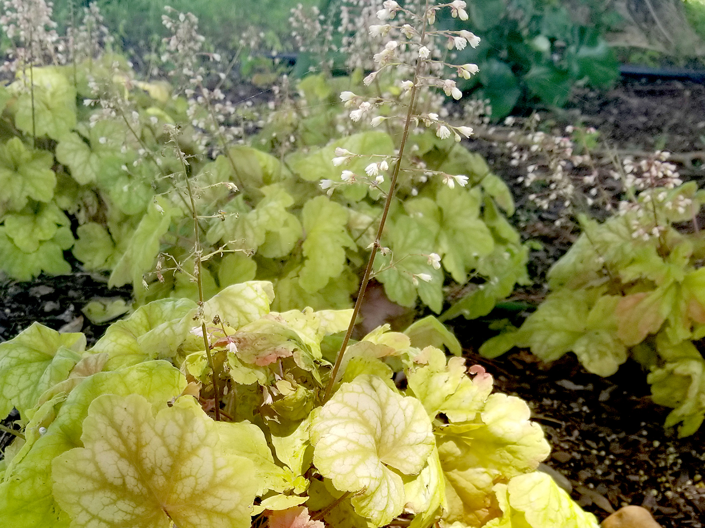 A plant with light green leaves and white flowers on tall stems grows in the shade under a tree.