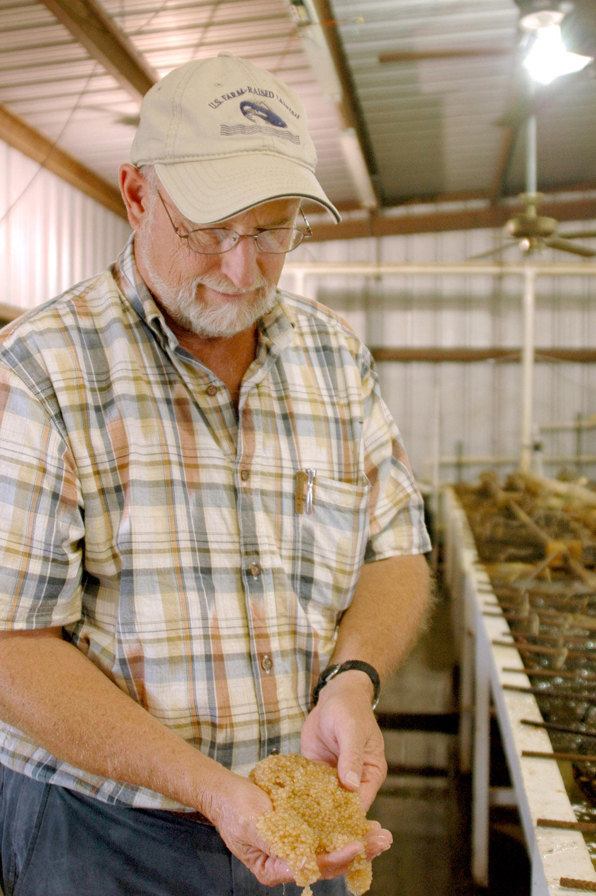 Mississippi State University Extension aquaculture specialist Jim Steeby inspects a catfish egg mass at the L&S Fish Farm catfish hatchery in Leland. (Photo by Robert H. Wells/MSU Delta Research and Extension Center)