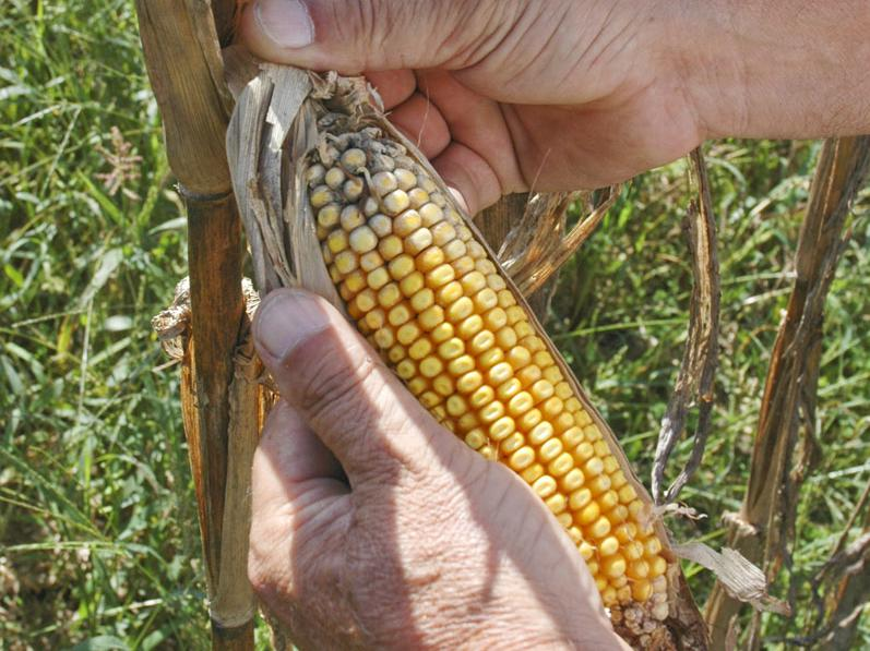 Rains, cooler weather and high humidity during corn harvest are causing problems for producers. This ear of corn in Holmes County shows evidence of sprouting and grain deterioration. (Photo by Bob Ratliff)