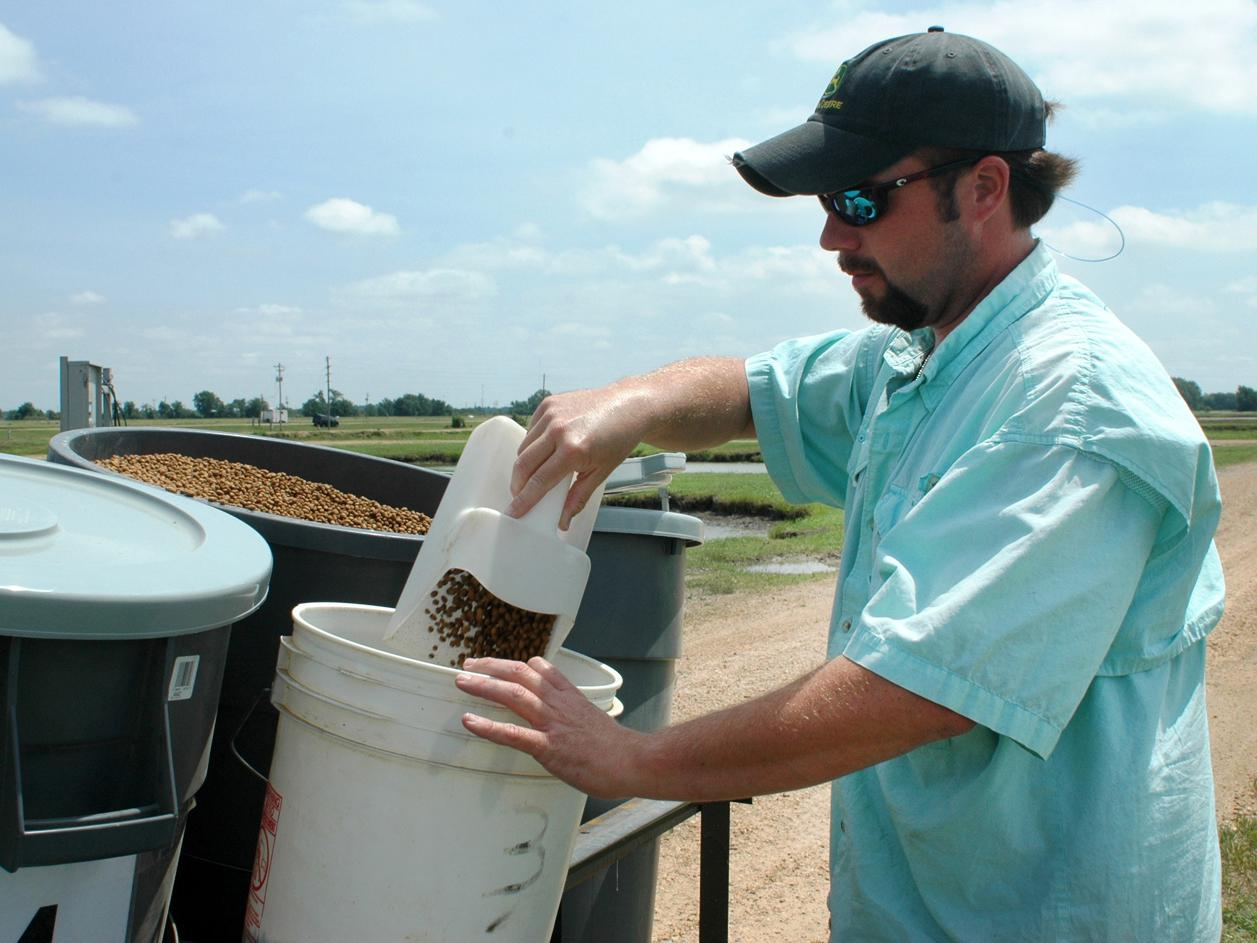 Nolan Brooks measures out catfish feed as part of a research project at MSU's Delta Research and Extension Center in Stoneville. (Photo by Rebekah Ray)
