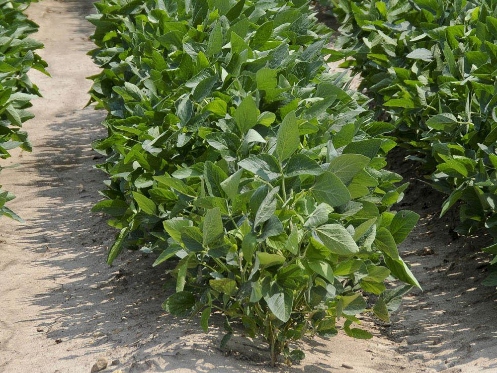 Many east Mississippi soybeans, such as these growing on Mississippi State University's North Farm, have received timely rains and have the potential to make a good crop. (Photo by Scott Corey)