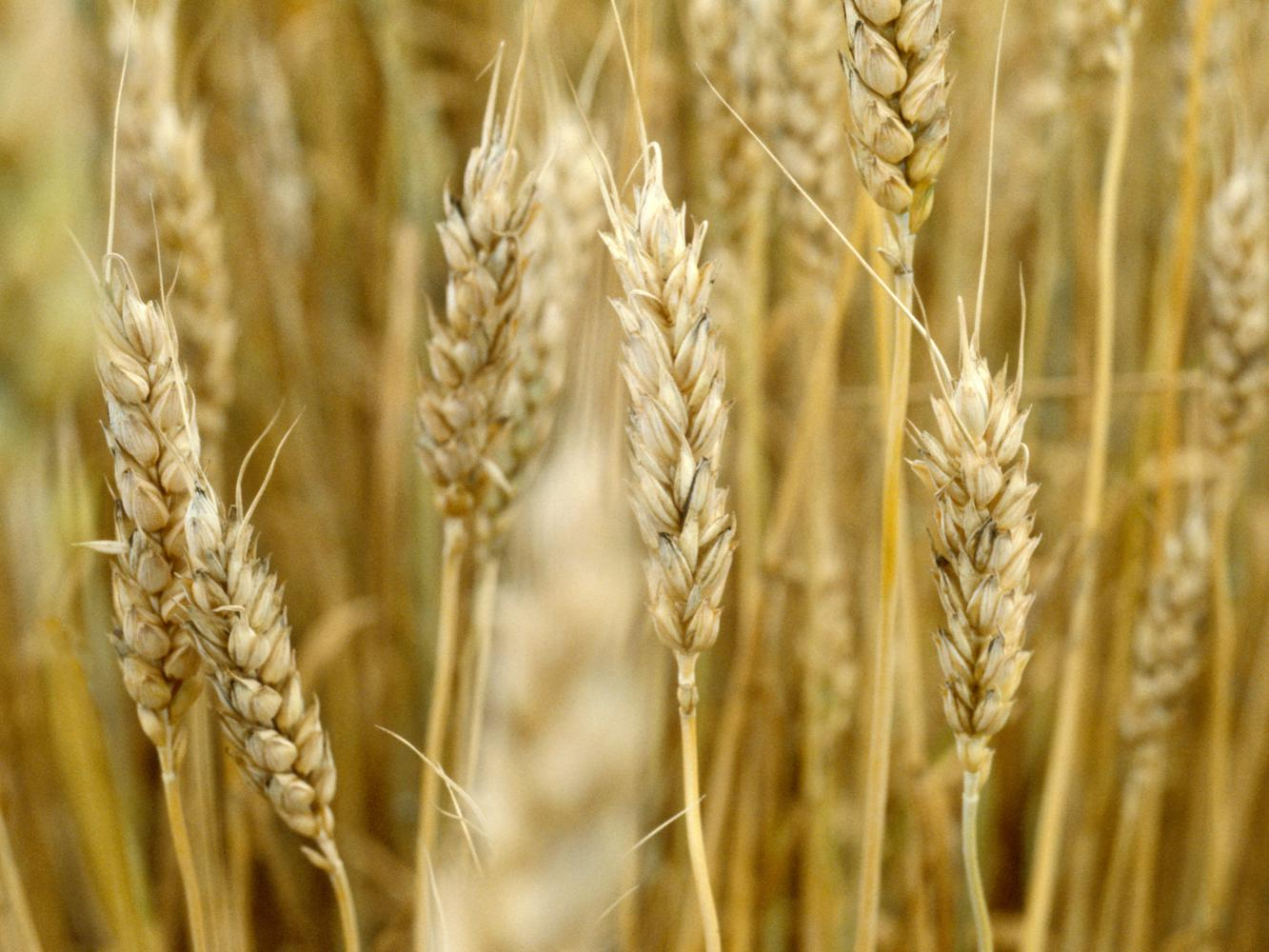 File photo of growing wheat