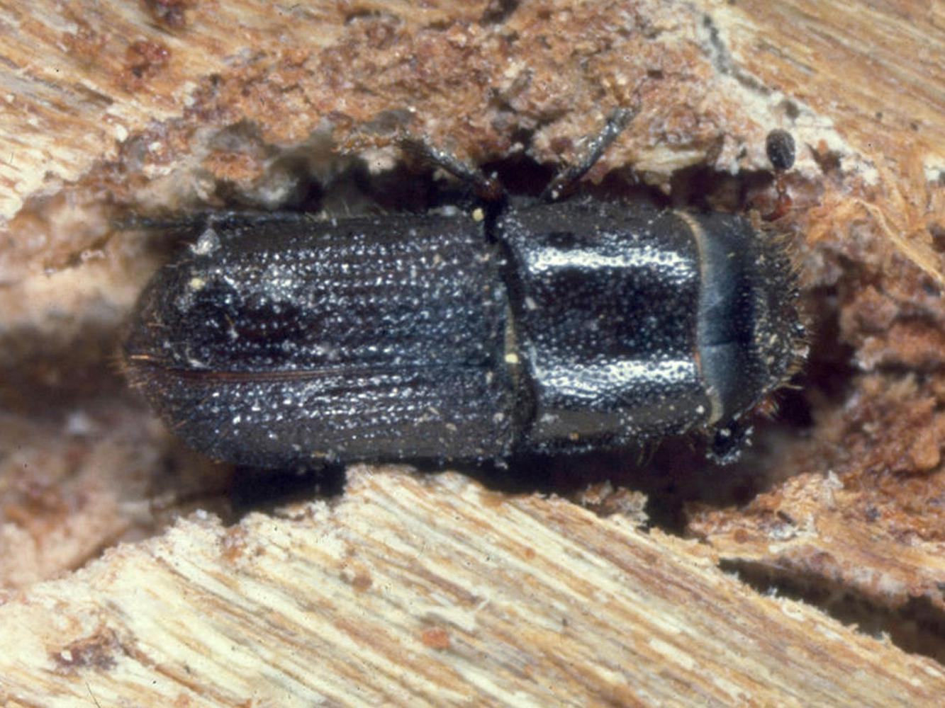 Southern pine beetles, such as the one in this file photo, are causing damage in the Homochitto National Forest in southwest Mississippi. Unlike small areas lost annually to Ips beetles, Southern pine beetle damage can encompass thousands of acres. (Photo by MSU Ag Communications/file photo)