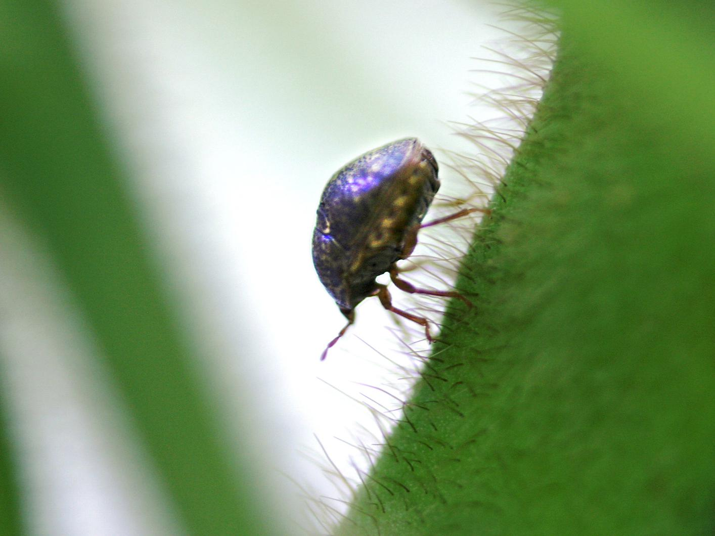 Kudzu bugs, an invasive soybean pest from Asia, were discovered mid-July in Vicksburg. Mississippi State University Extension Service entomologists are monitoring the state's soybean fields and say the insect can be controlled. (Photo by USDA-ARS /Richard Evans)