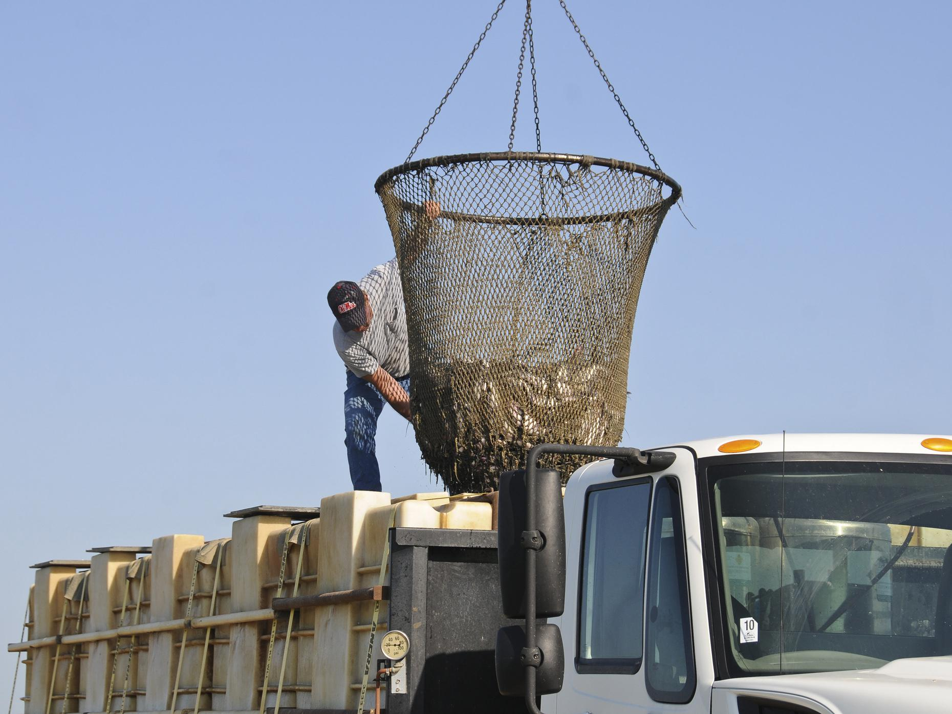 Caught in a trap of high input costs and low pond bank prices, Mississippi's catfish farmers struggle to break even as the nation's drought tightens feed supplies. (Photo by MSU Ag Communications/Scott Corey)