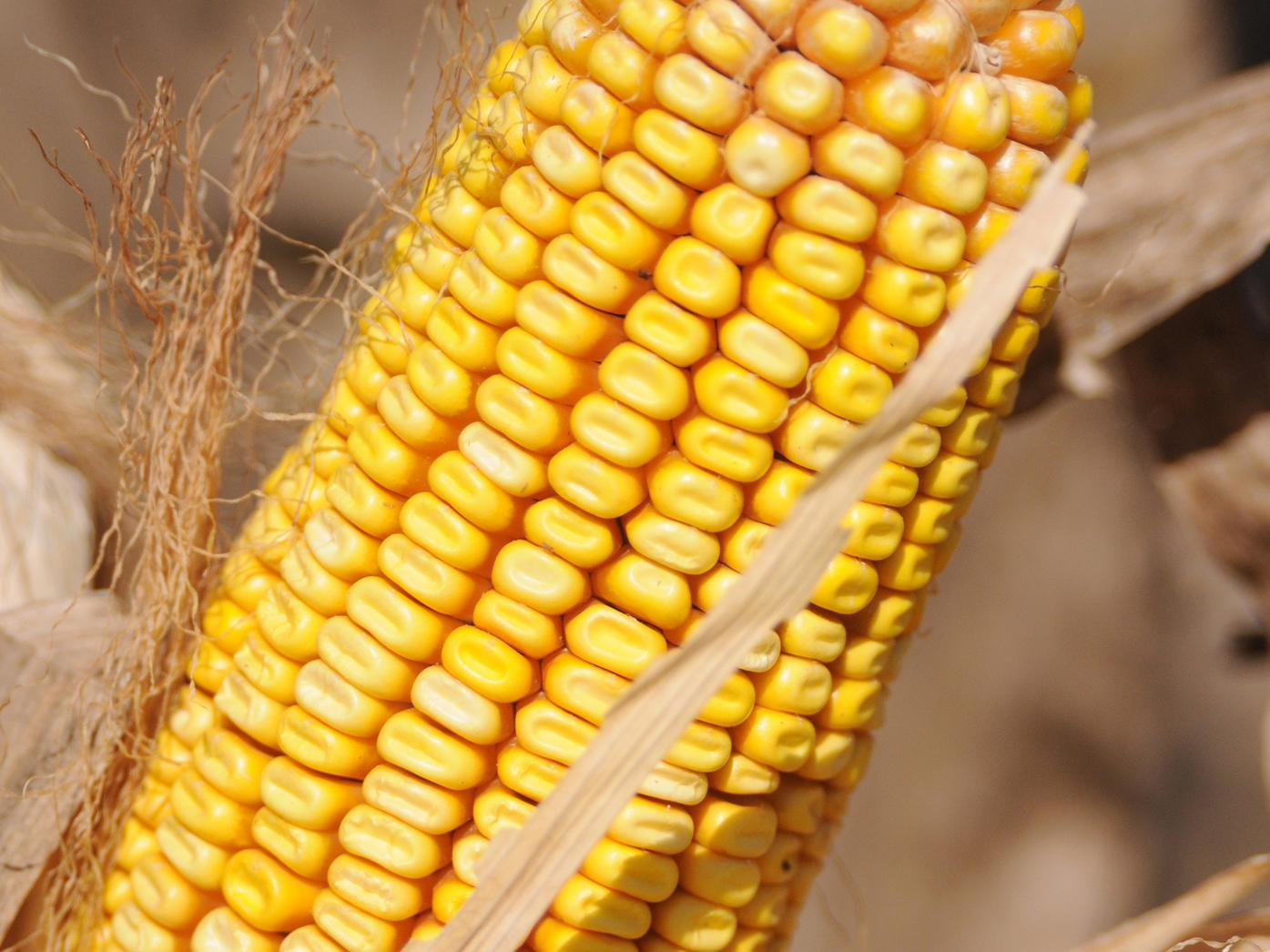 The 2012 harvest is under way on Mississippi's 840,000 acres of corn with most growers reporting record or near-record yields. The record, 148 bushels per acre, was set in 2007. (File photo/MSU Ag Communications)