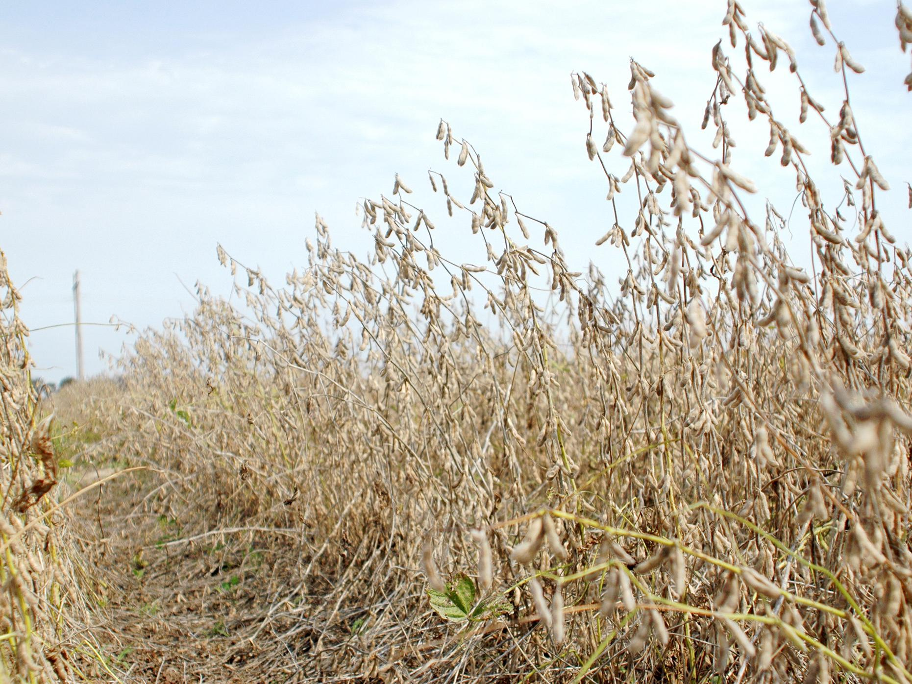 The majority of the state's soybeans, such as these at Mississippi State University's Delta Research and Extension Center in Stoneville, were harvested before heavy rains Sept. 30 halted work. (Photo by DREC Communications/ Rebekah Ray)