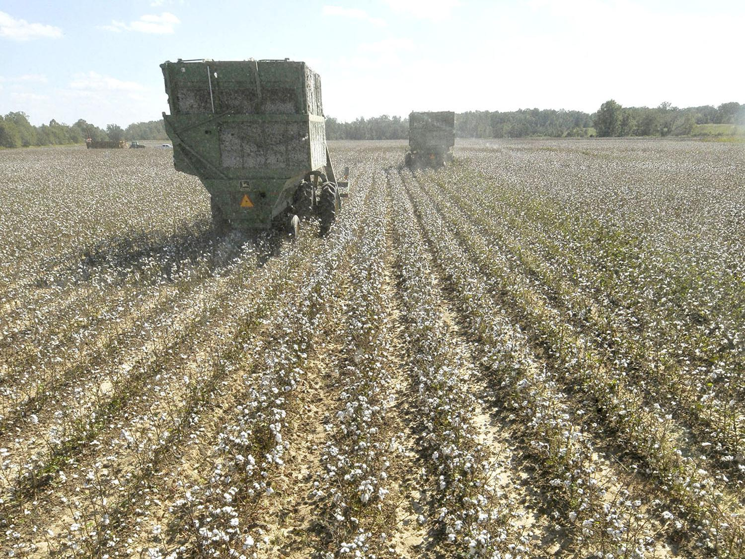 Although rain halted fieldwork for more than a week in early October, Mississippi's cotton harvest is well underway and yields are high. This machine was picking cotton on Topashaw Farms in Calhoun County, Sept. 28, 2011. (File photo by MSU Ag Communications/Scott Corey)
