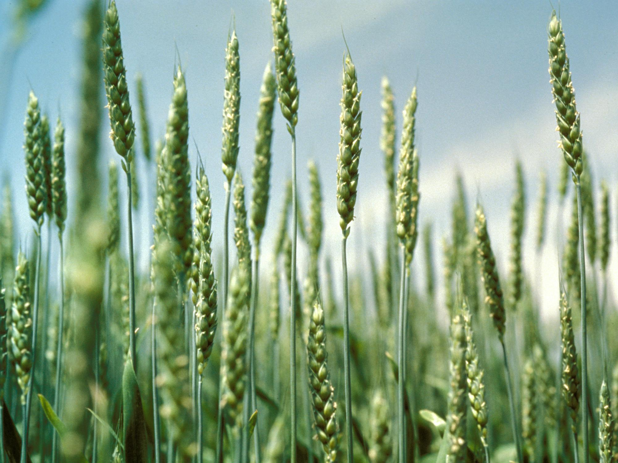 Nearly one-third of Mississippi's winter wheat crop was planted by Nov. 1. Good prices have increased wheat acres in the state. (File photo by MSU Ag Communications)